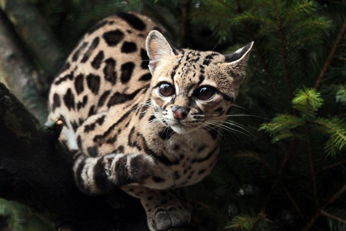 Free download Ocelot wallpaper ID:146302 hd 1152x768 for computer