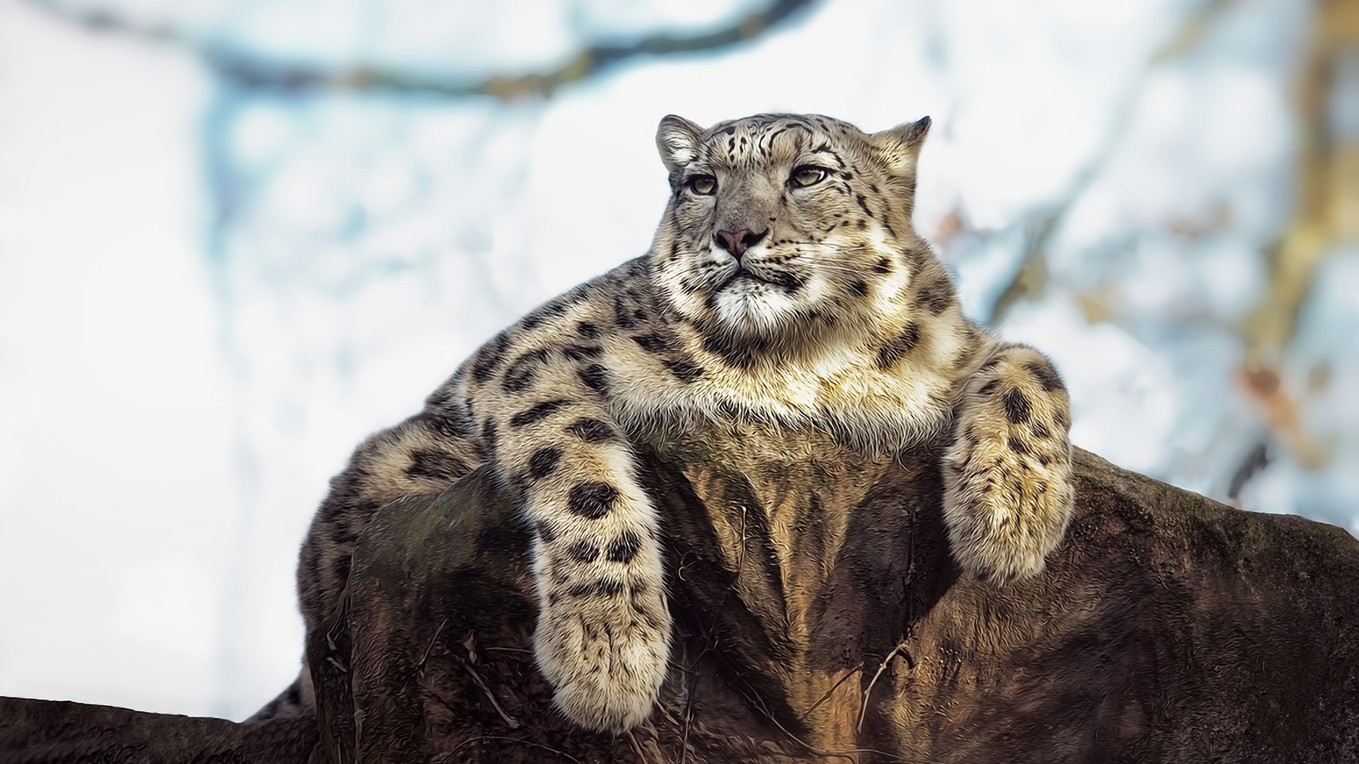 Best Snow Leopard background ID:34397 for High Resolution full hd 1920x1080 desktop