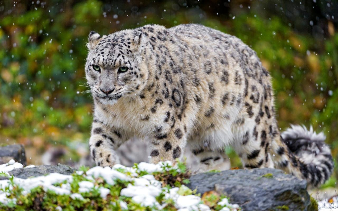 Free download Snow Leopard wallpaper ID:34398 hd 1280x800 for computer