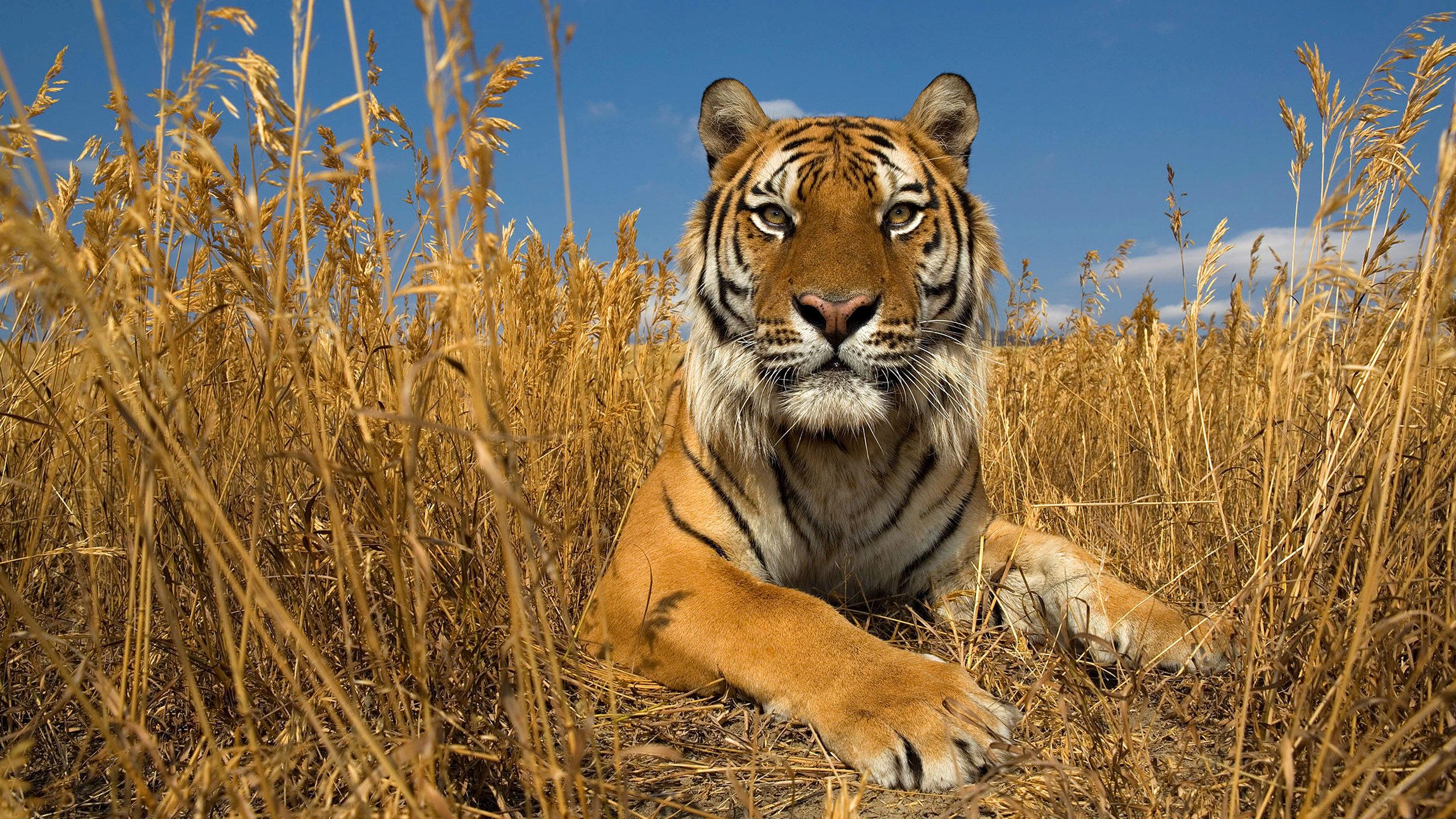 природа животные тигры nature animals tigers  № 1297282  скачать
