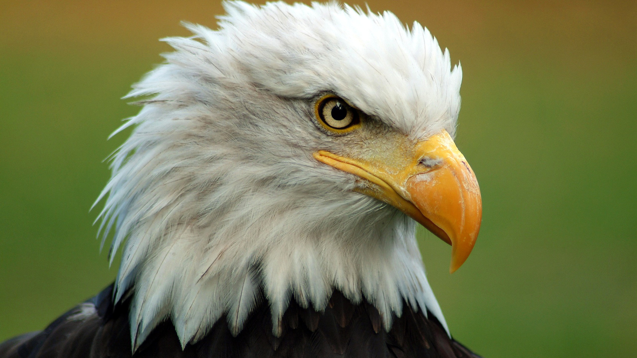 Best American Bald Eagle wallpaper ID:68654 for High Resolution hd 2560x1440 PC