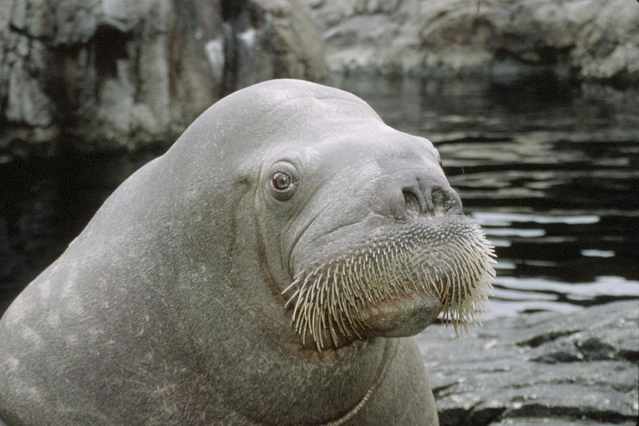 Awesome Walrus free wallpaper ID:394835 for hd 1280x854 PC