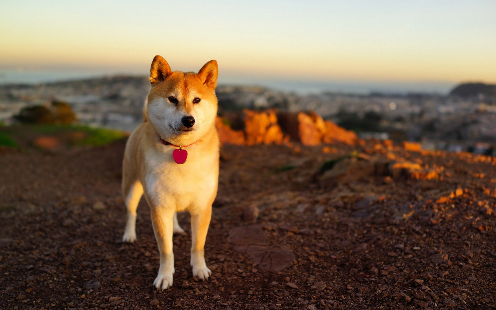 Free Akita high quality background ID:196180 for hd 1920x1200 desktop