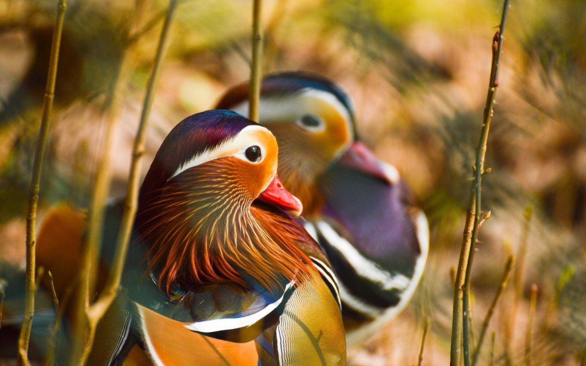 Best Mandarin Duck background ID:100789 for High Resolution hd 1920x1200 computer
