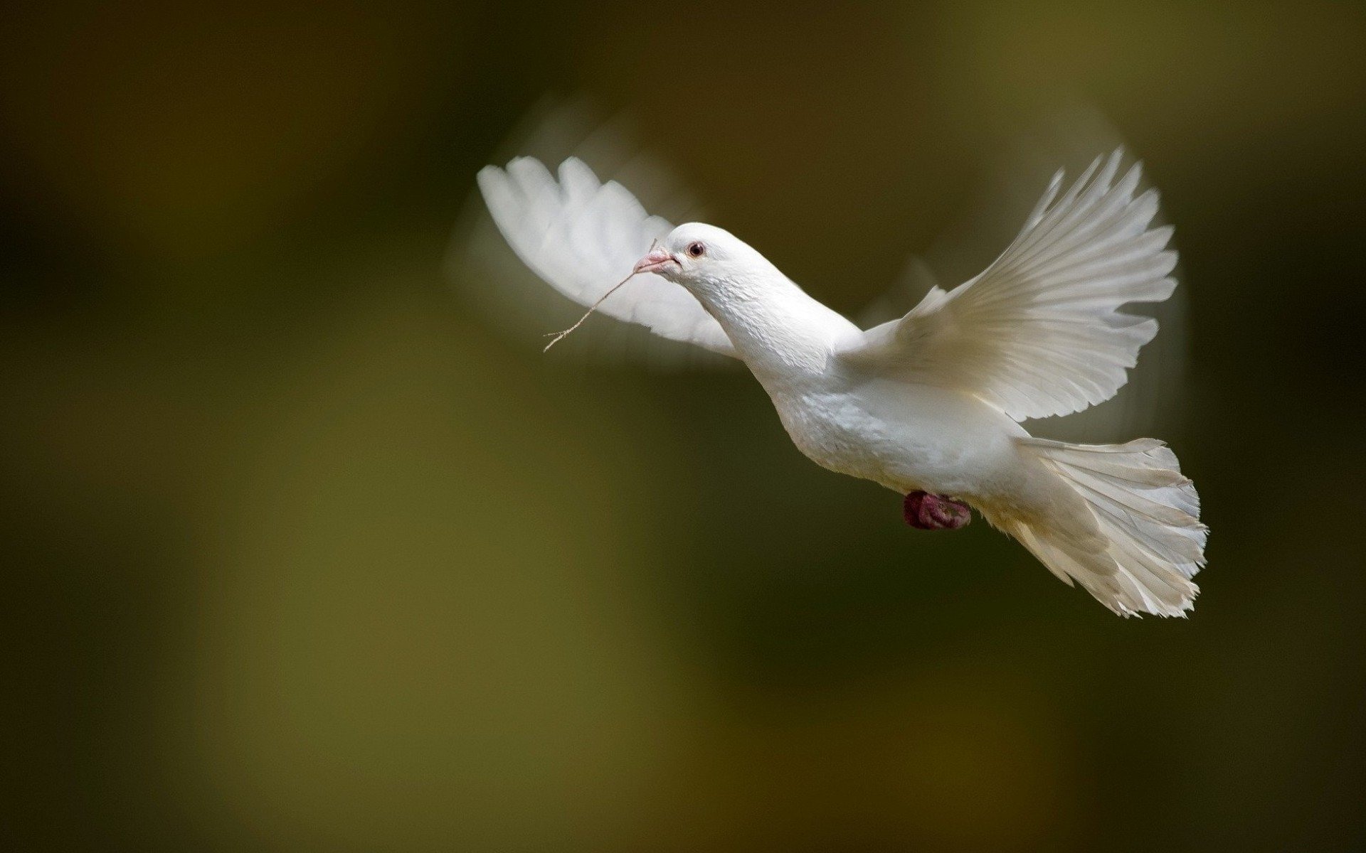 Awesome Dove free wallpaper ID:357291 for hd 1920x1200 PC
