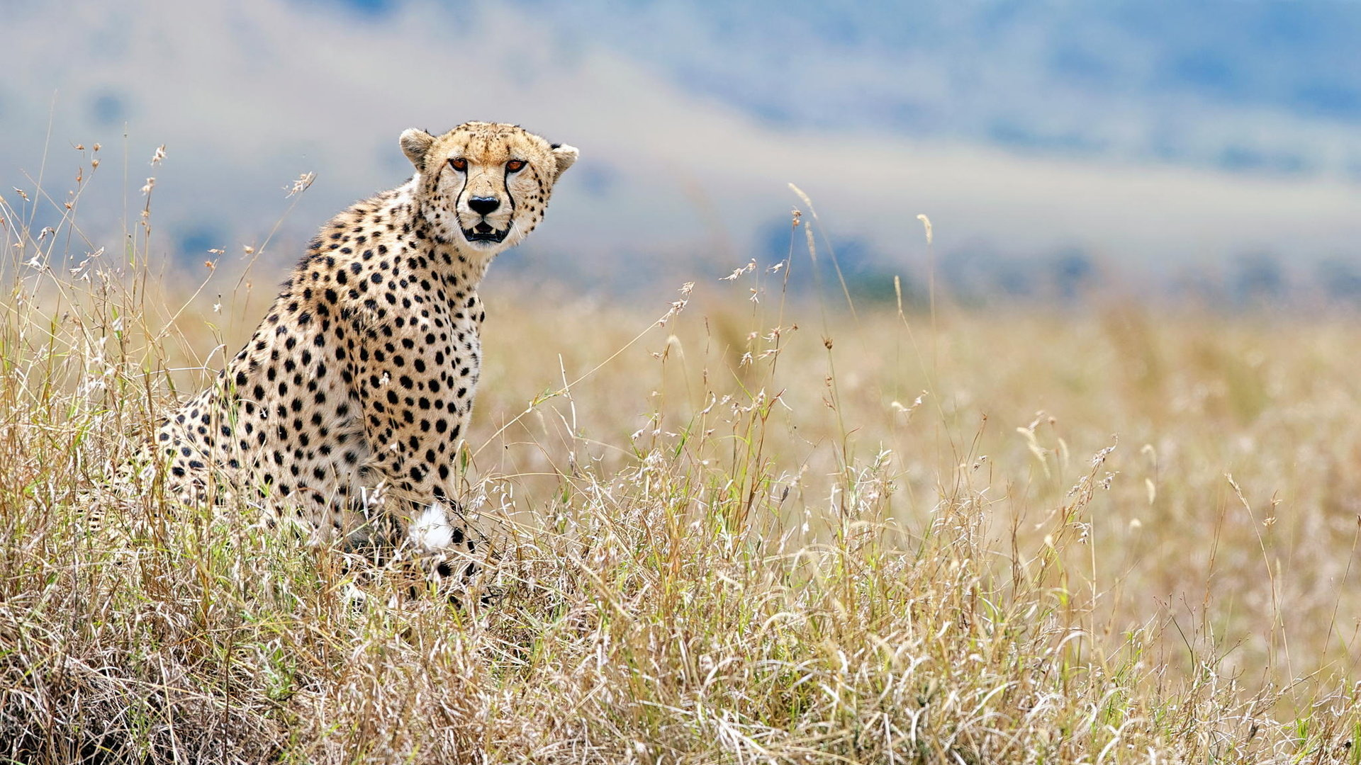 Download full hd 1920x1080 Cheetah computer wallpaper ID:161743 for free