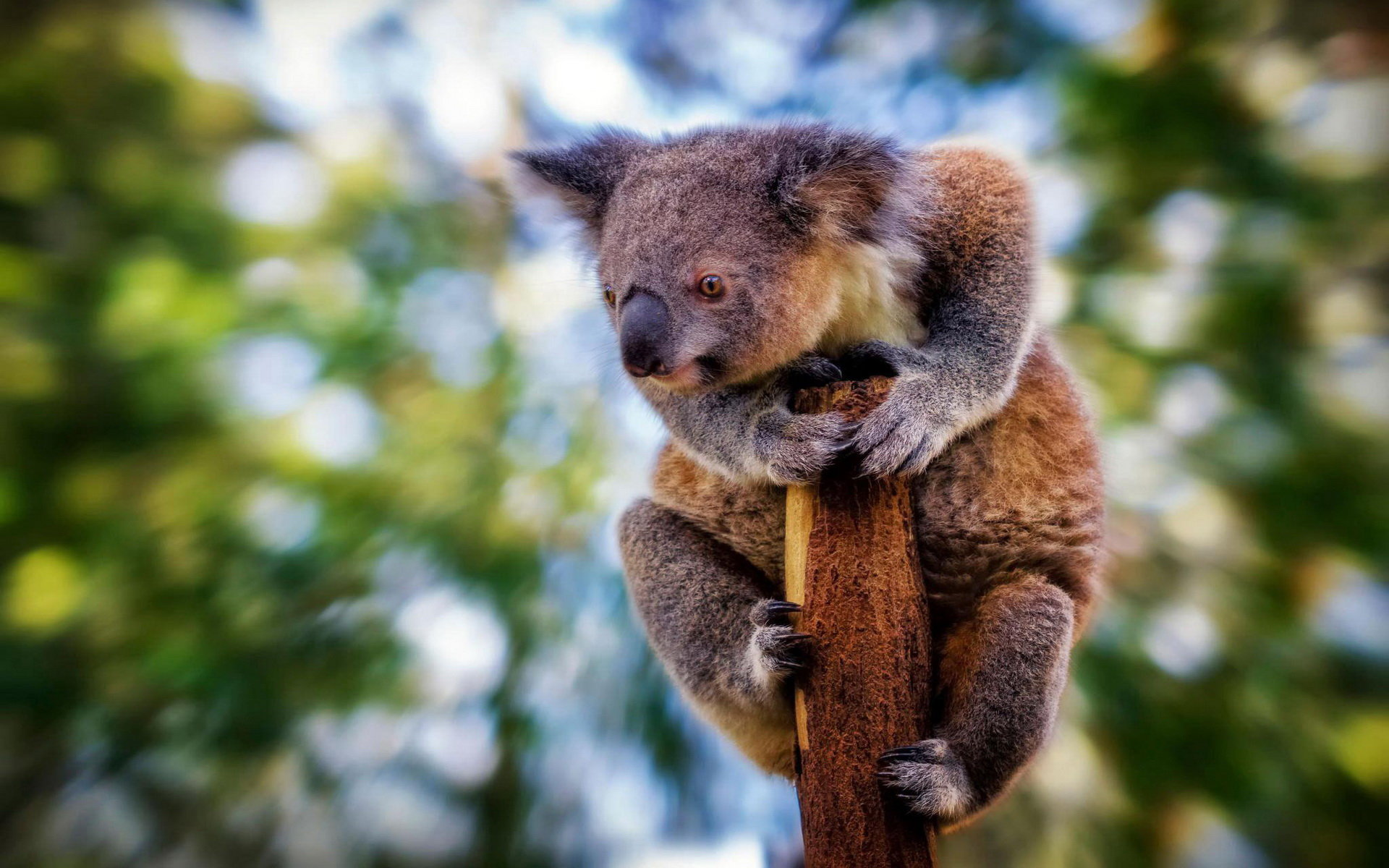 Download hd 1920x1200 Koala desktop background ID:74277 for free