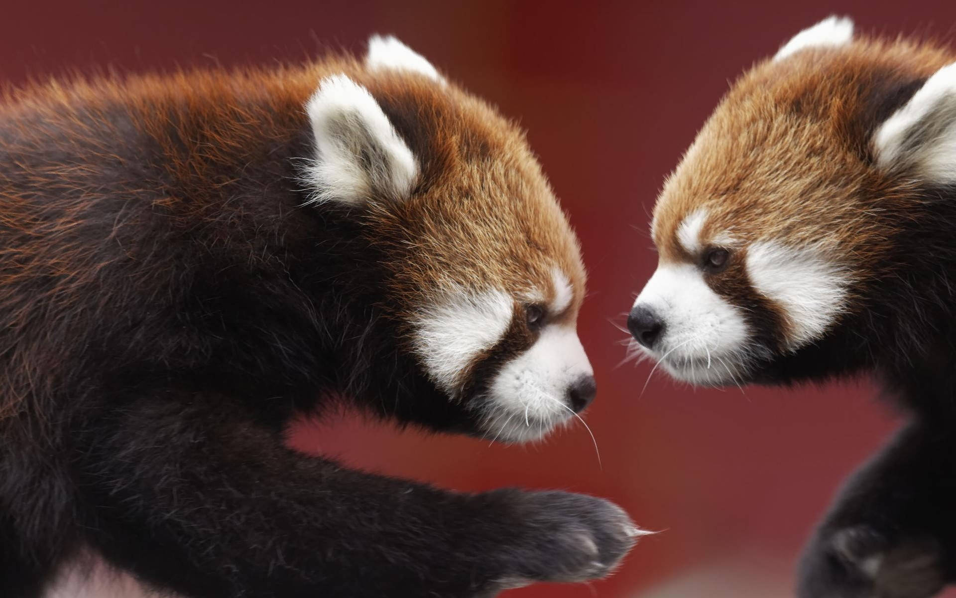 Free Red Panda high quality wallpaper ID:64014 for hd 1920x1200 PC