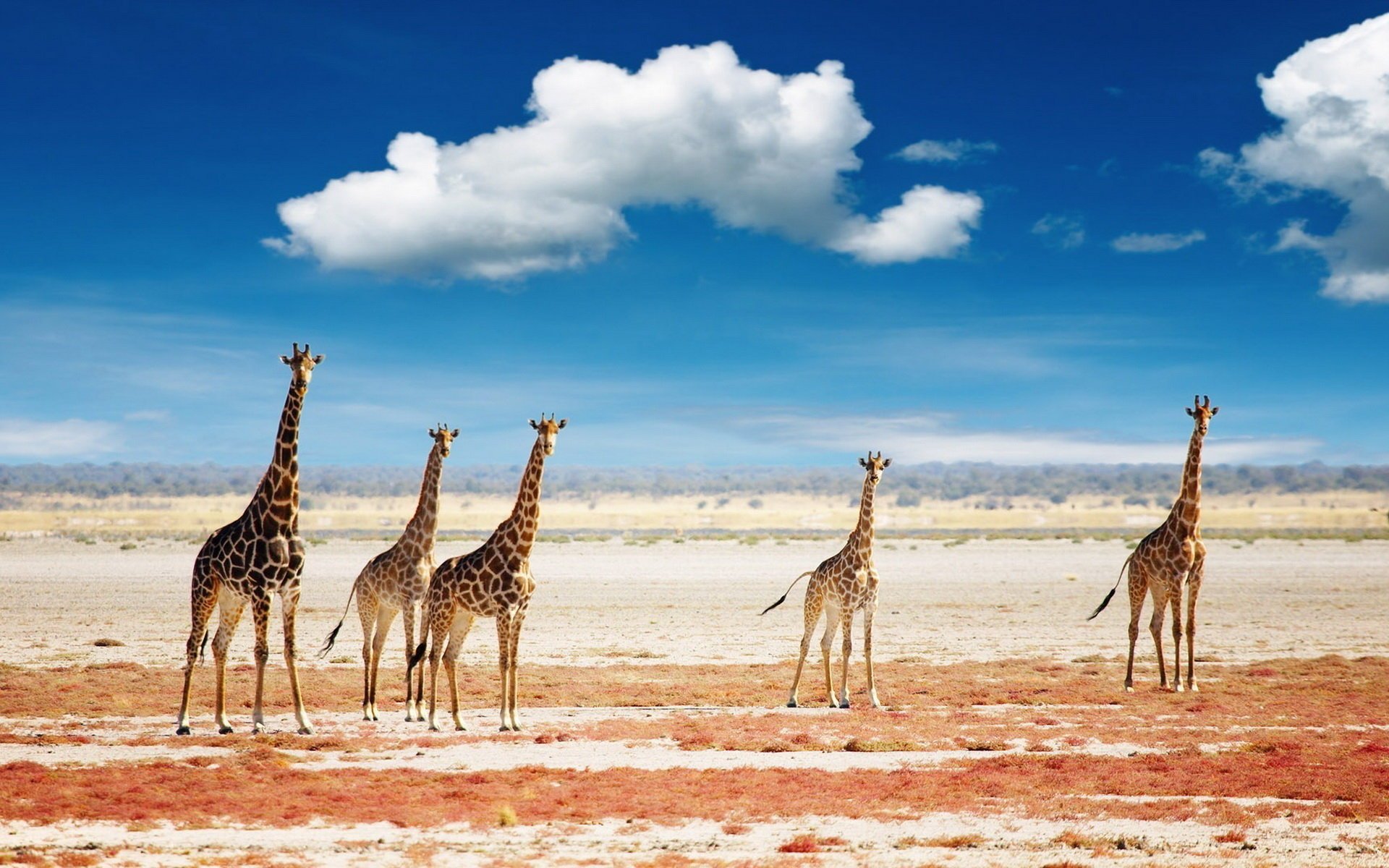 Download hd 1920x1200 Giraffe desktop wallpaper ID:332511 for free