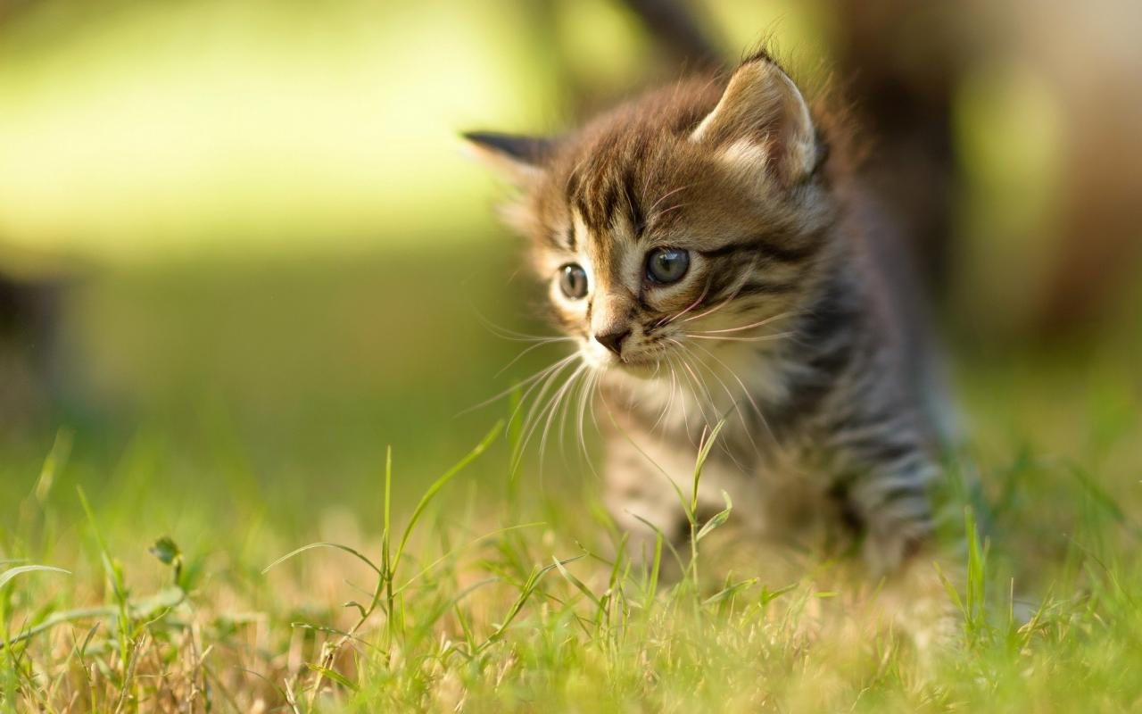 Free Kitten high quality wallpaper ID:427832 for hd 1280x800 desktop