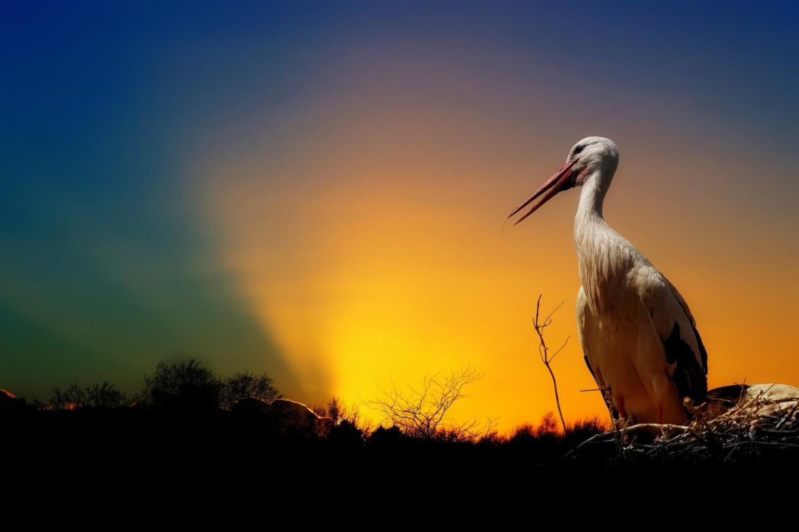 Awesome White Stork free background ID:9607 for hd 1152x768 desktop