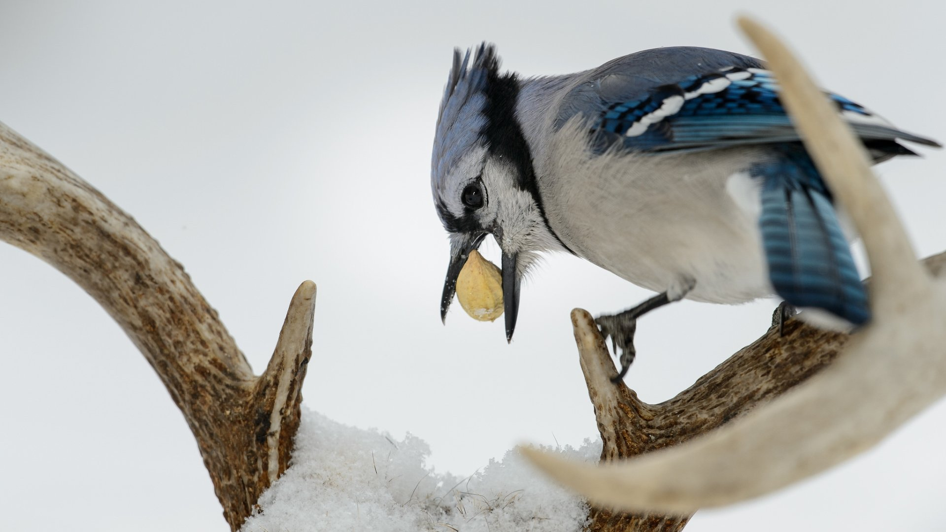 Free Blue Jay high quality background ID:158393 for full hd 1080p computer