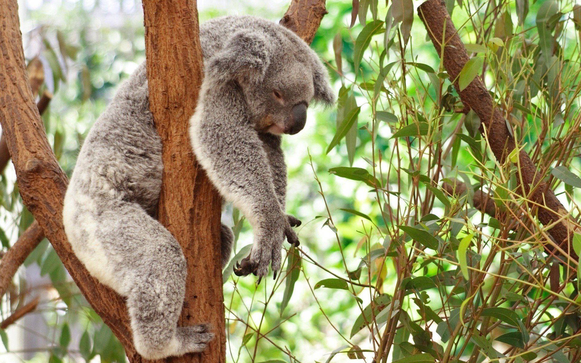 Awesome Koala free wallpaper ID:74229 for hd 1920x1200 computer