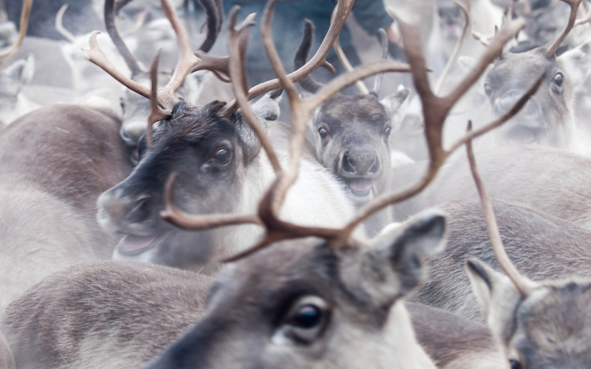 Download hd 1920x1200 Reindeer desktop background ID:256632 for free