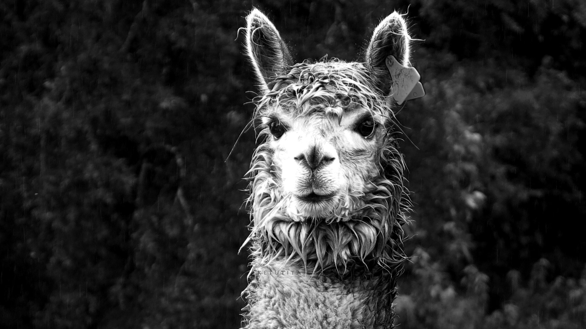 Download full hd 1920x1080 Alpaca computer background ID:127031 for free