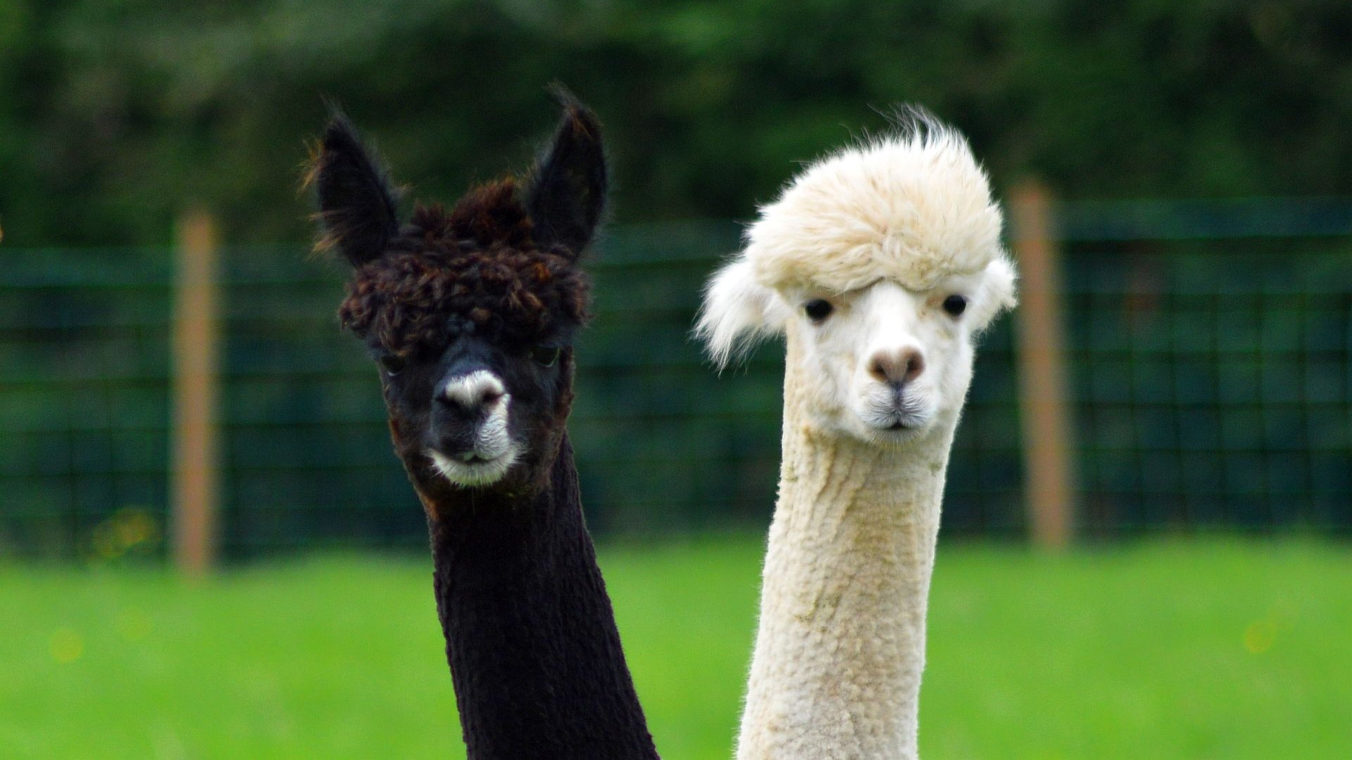 Free download Alpaca background ID:126991 hd 1080p for desktop