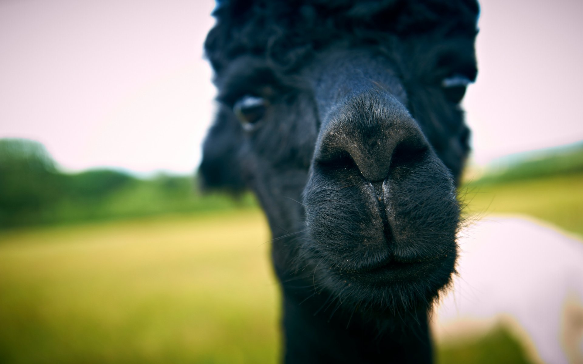 Free Alpaca high quality background ID:127016 for hd 1920x1200 computer