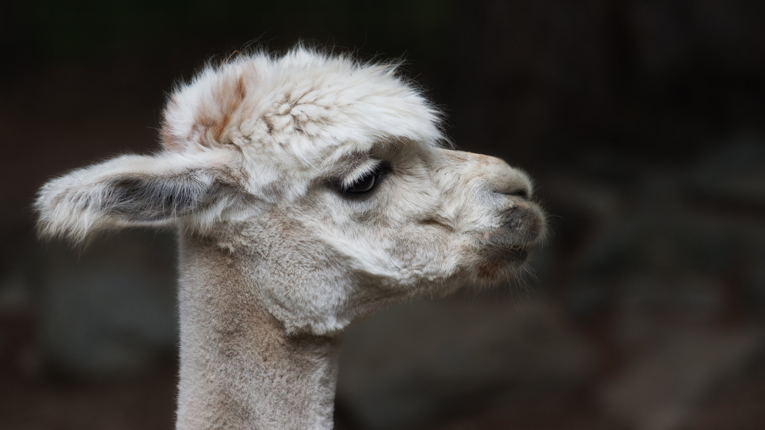 Free Alpaca high quality background ID:127009 for hd 2560x1440 PC