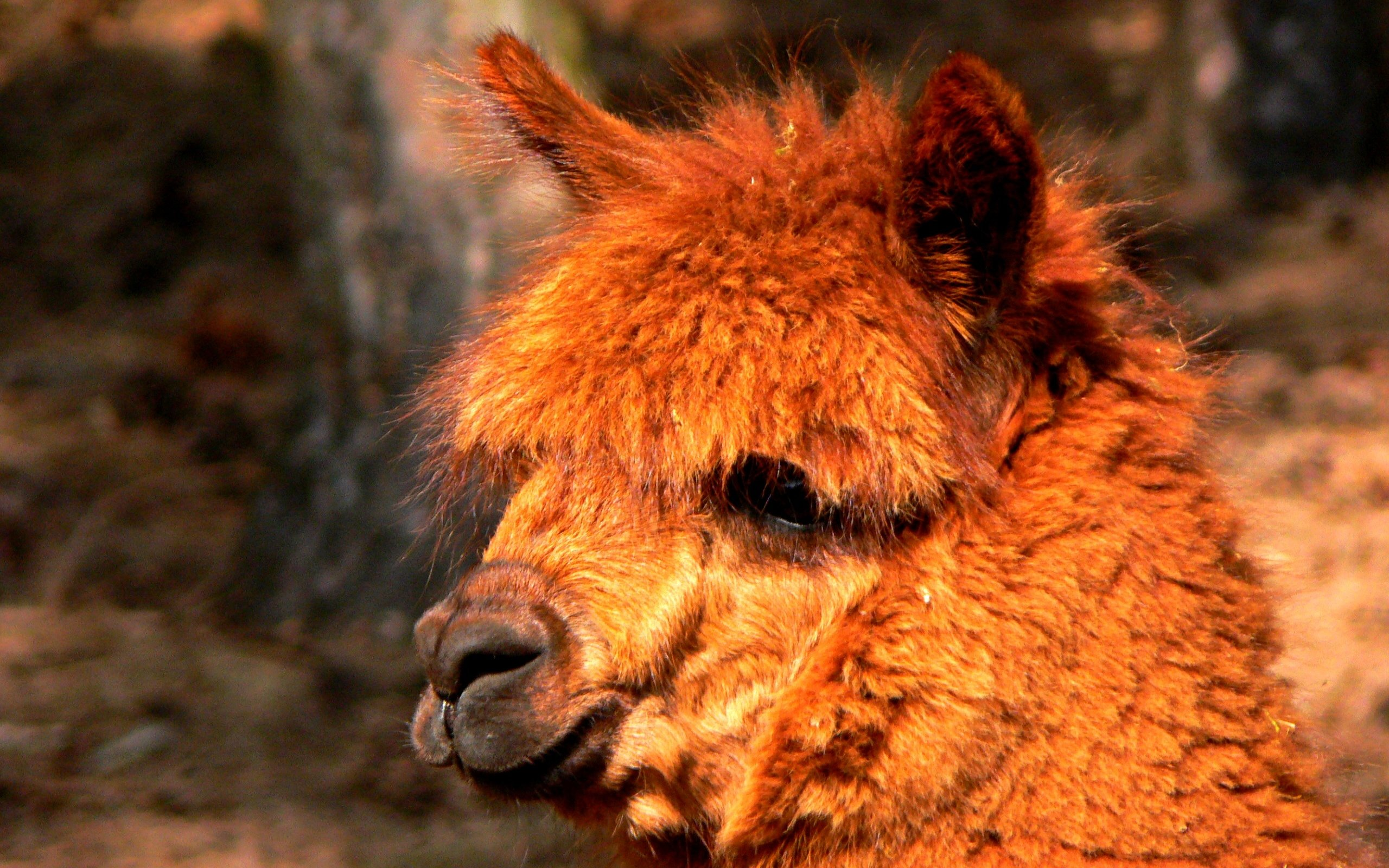Free Alpaca high quality background ID:127026 for hd 2560x1600 computer
