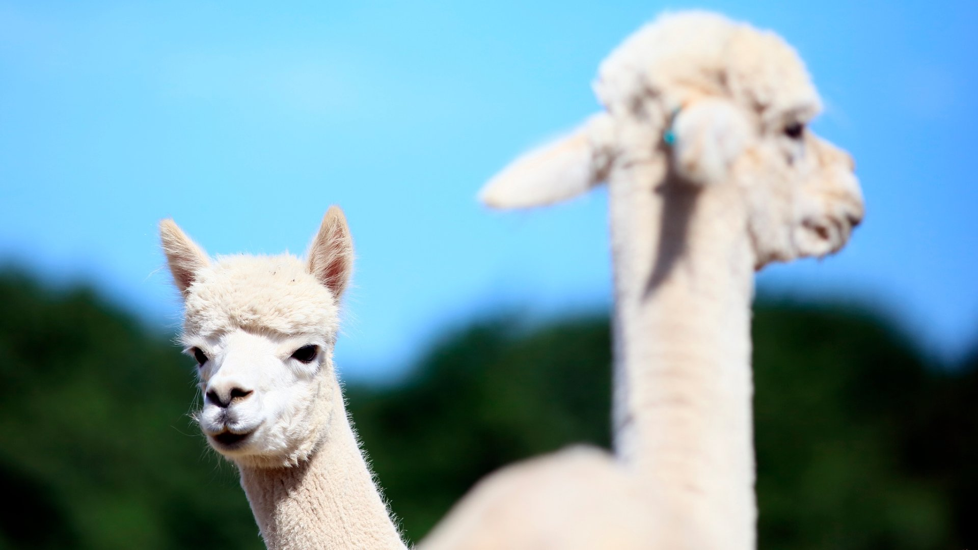 Free Alpaca high quality wallpaper ID:127007 for full hd 1920x1080 desktop