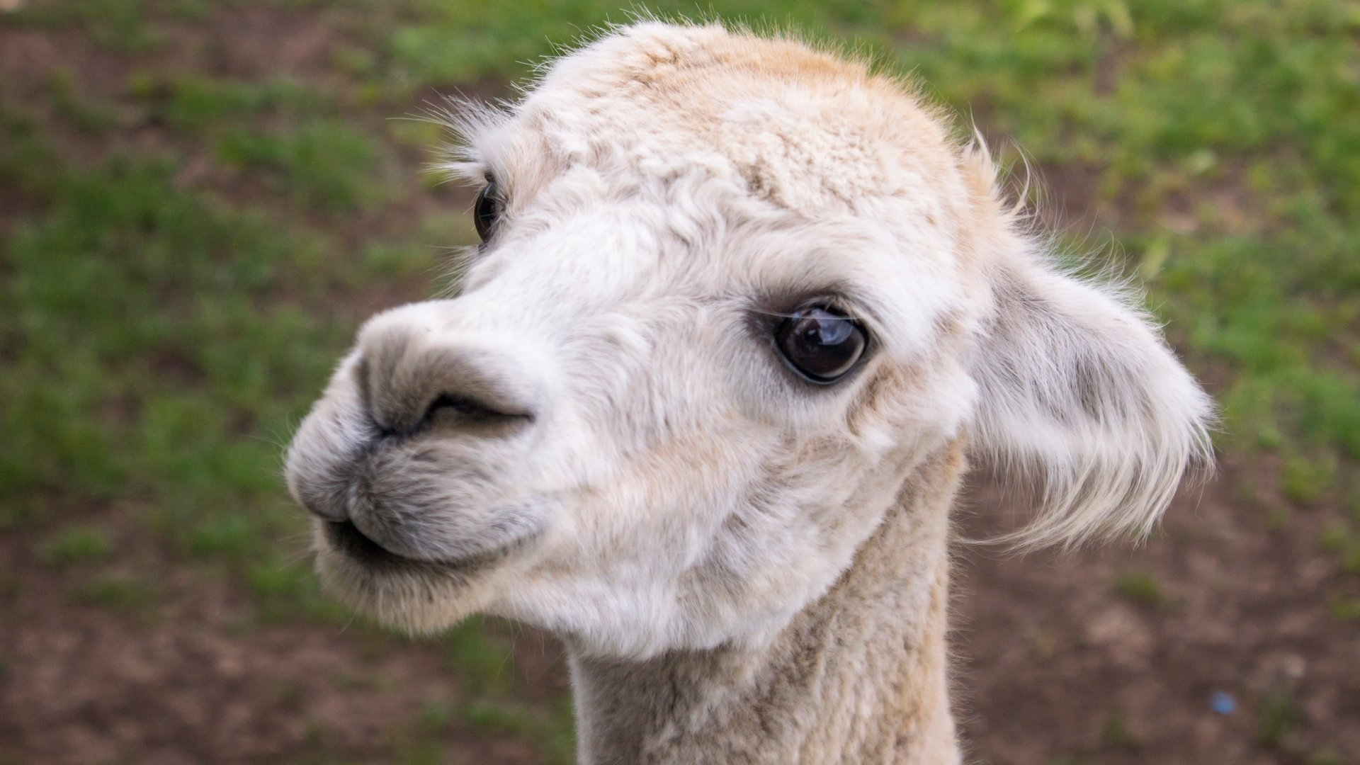 Best Alpaca wallpaper ID:127006 for High Resolution hd 1920x1080 computer