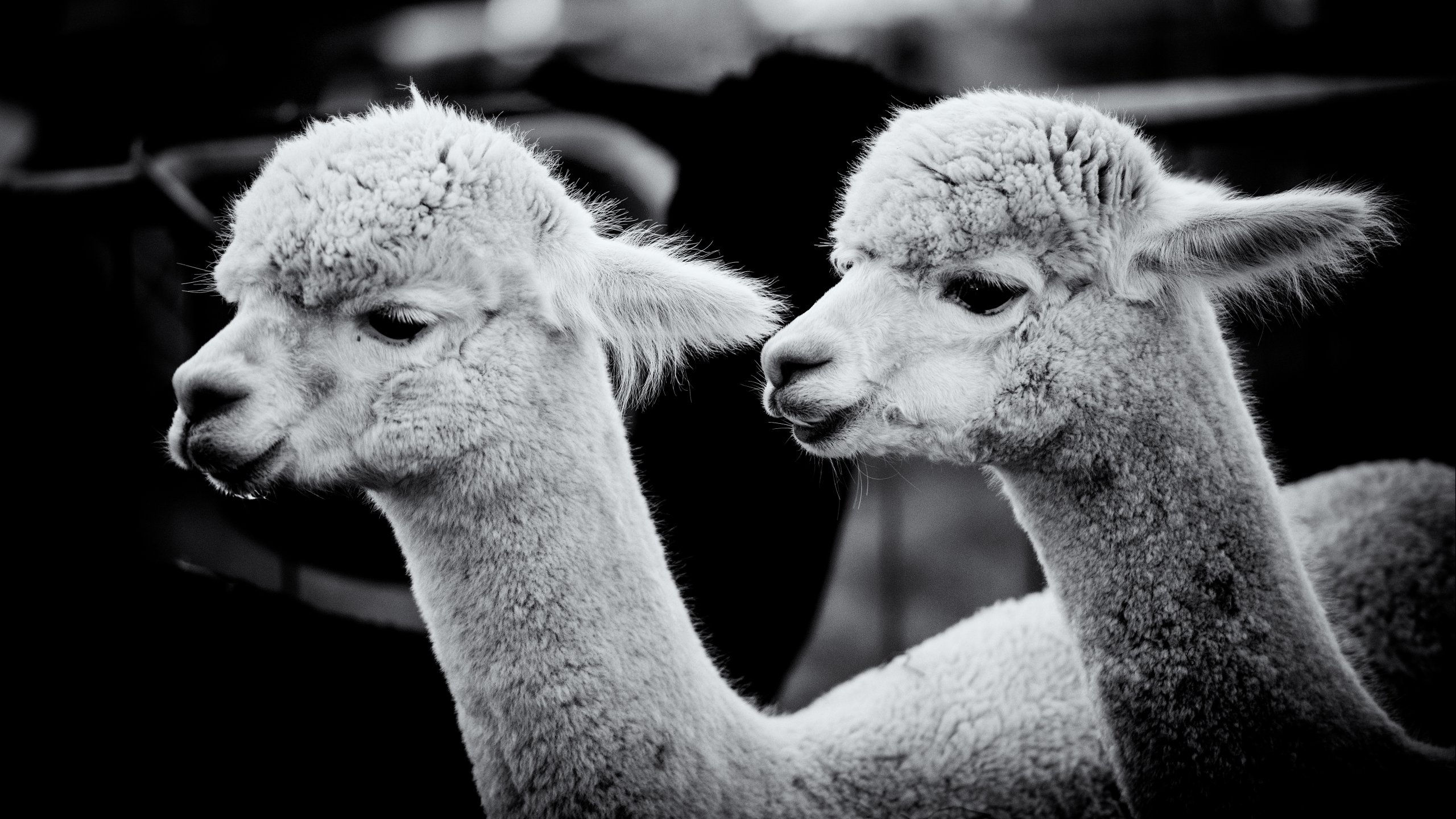 Awesome Alpaca free wallpaper ID:127001 for hd 2560x1440 desktop
