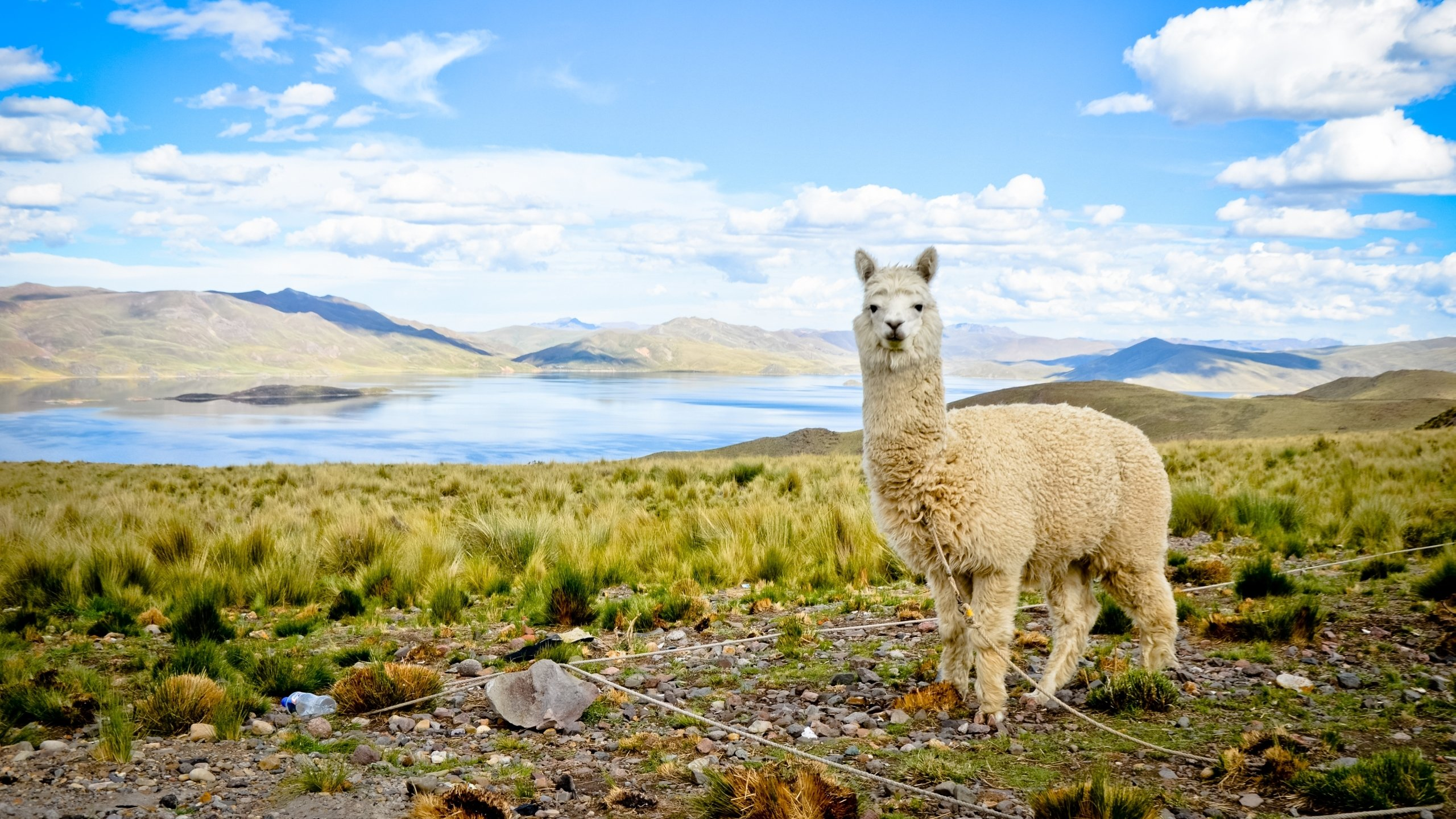 High resolution Alpaca hd 2560x1440 wallpaper ID:127002 for desktop