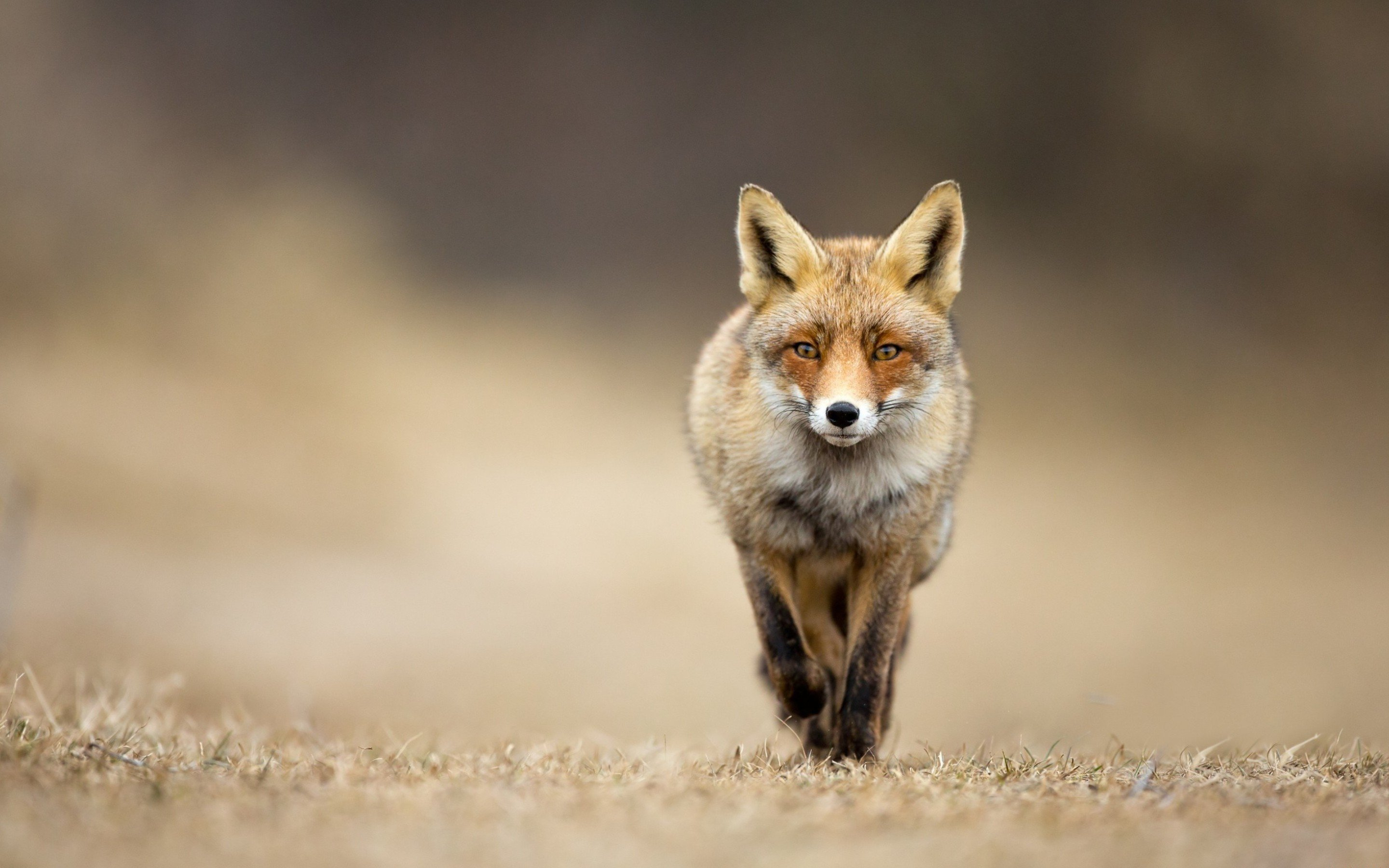 Free Fox high quality background ID:58813 for hd 2880x1800 PC