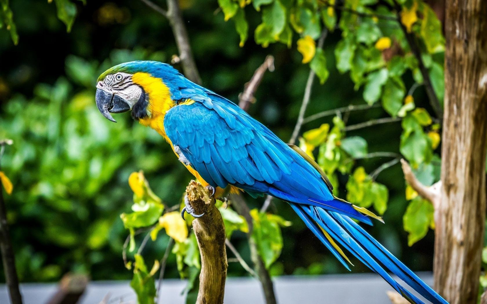 Download hd 1680x1050 Macaw PC wallpaper ID:46423 for free