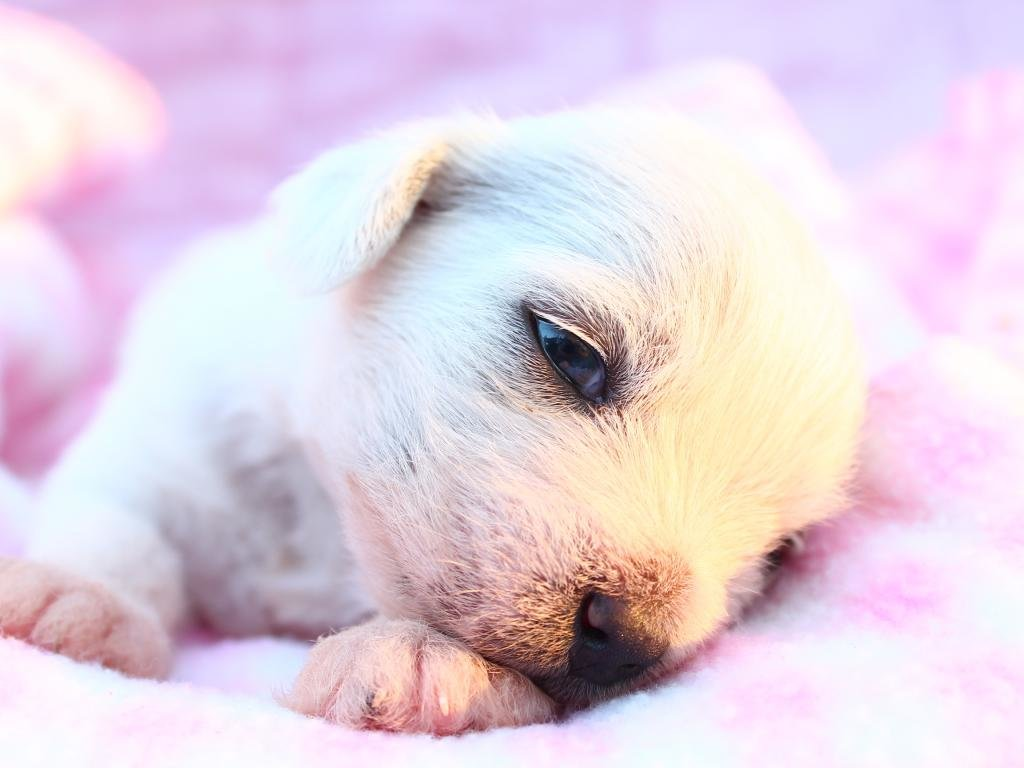 High resolution Puppy hd 1024x768 background ID:46676 for PC