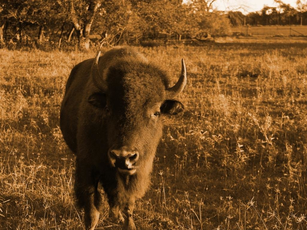 Free download Bison wallpaper ID:130643 hd 1024x768 for PC