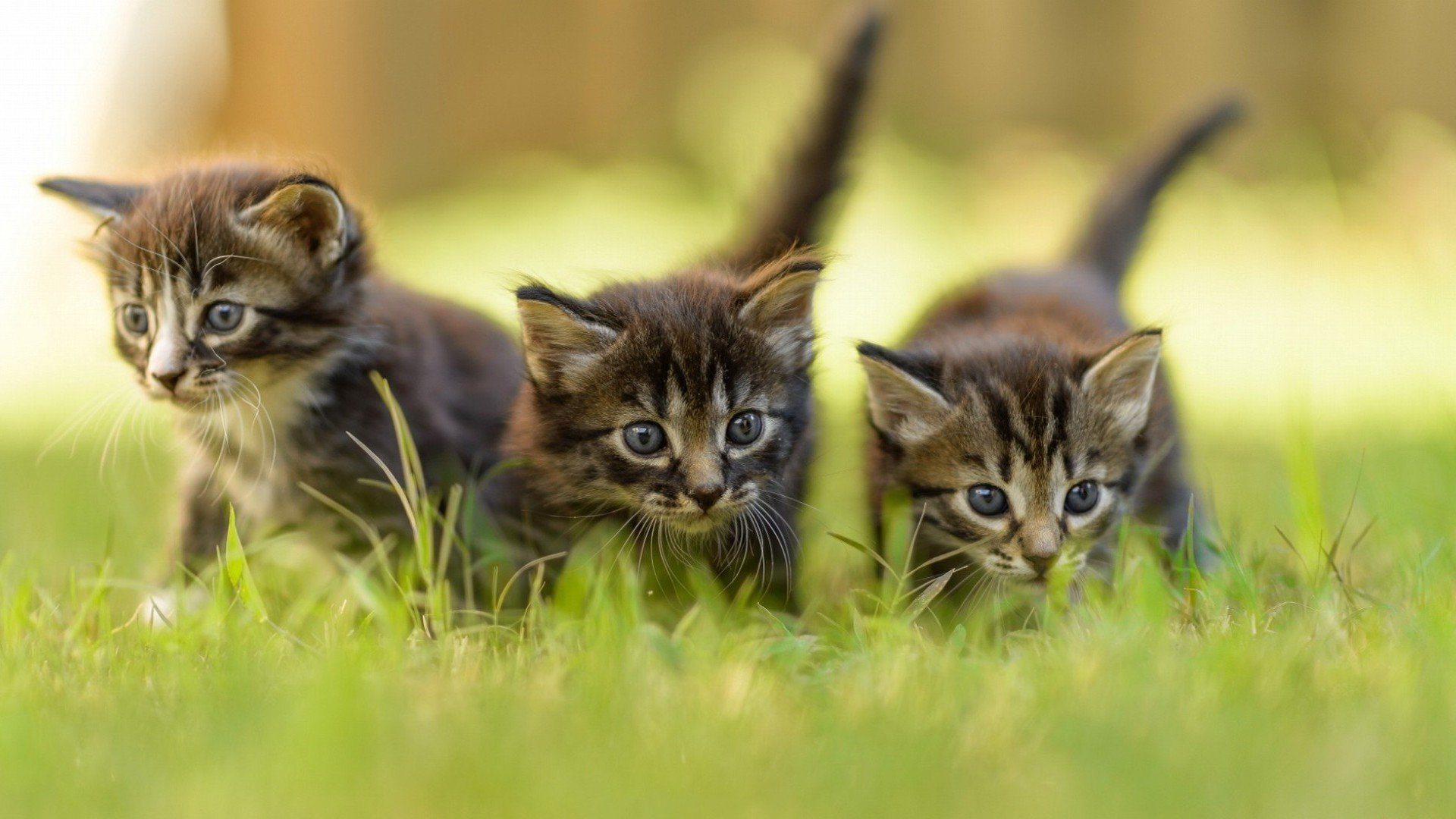Free download Kitten background ID:428935 1080p for PC