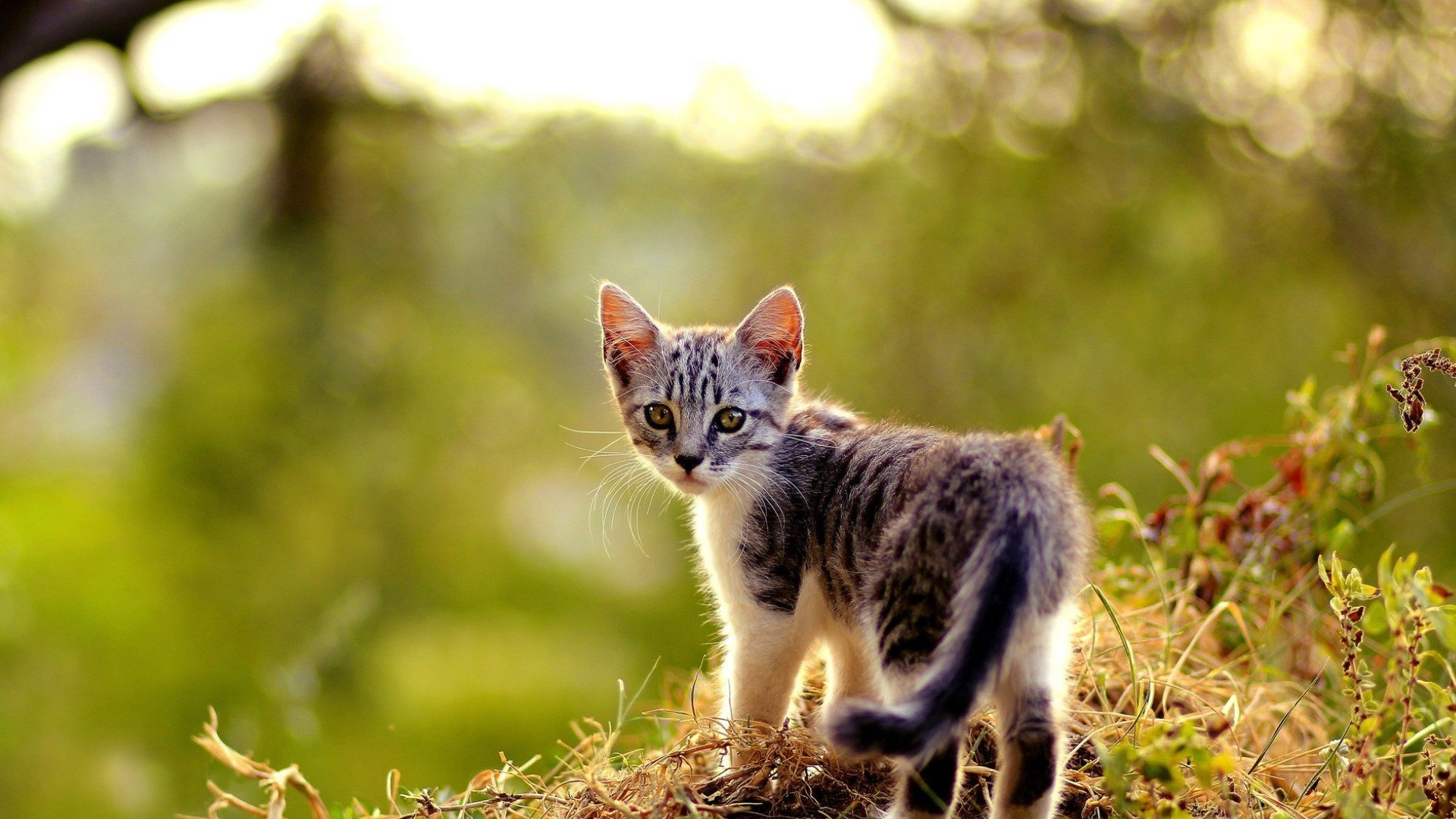 Download full hd Kitten PC background ID:426385 for free