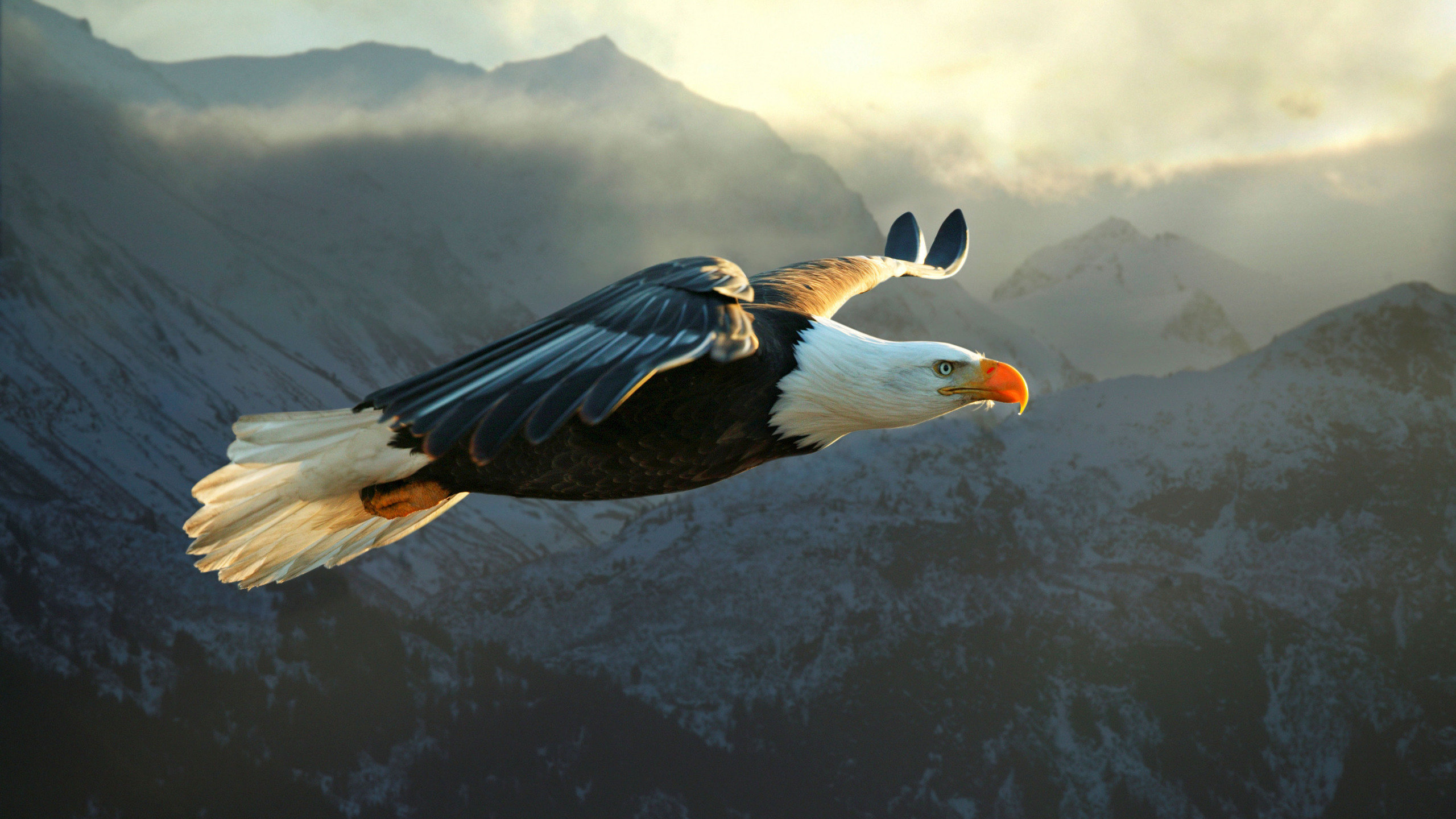 High resolution American Bald Eagle hd 2560x1440 background ID:68613 for computer