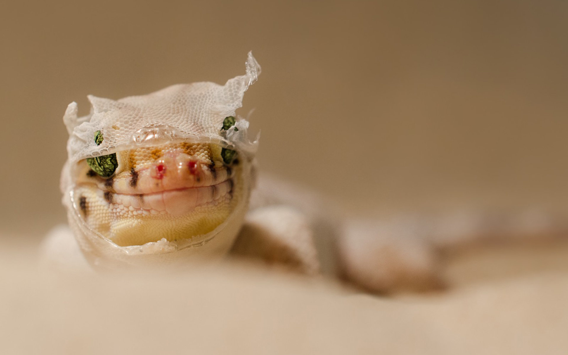 High resolution Gecko hd 1920x1200 background ID:114514 for PC