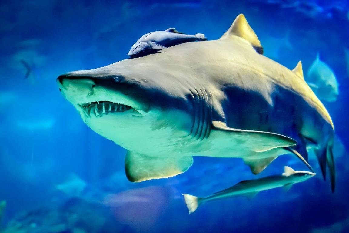 Awesome Shark free background ID:180554 for hd 1152x768 desktop