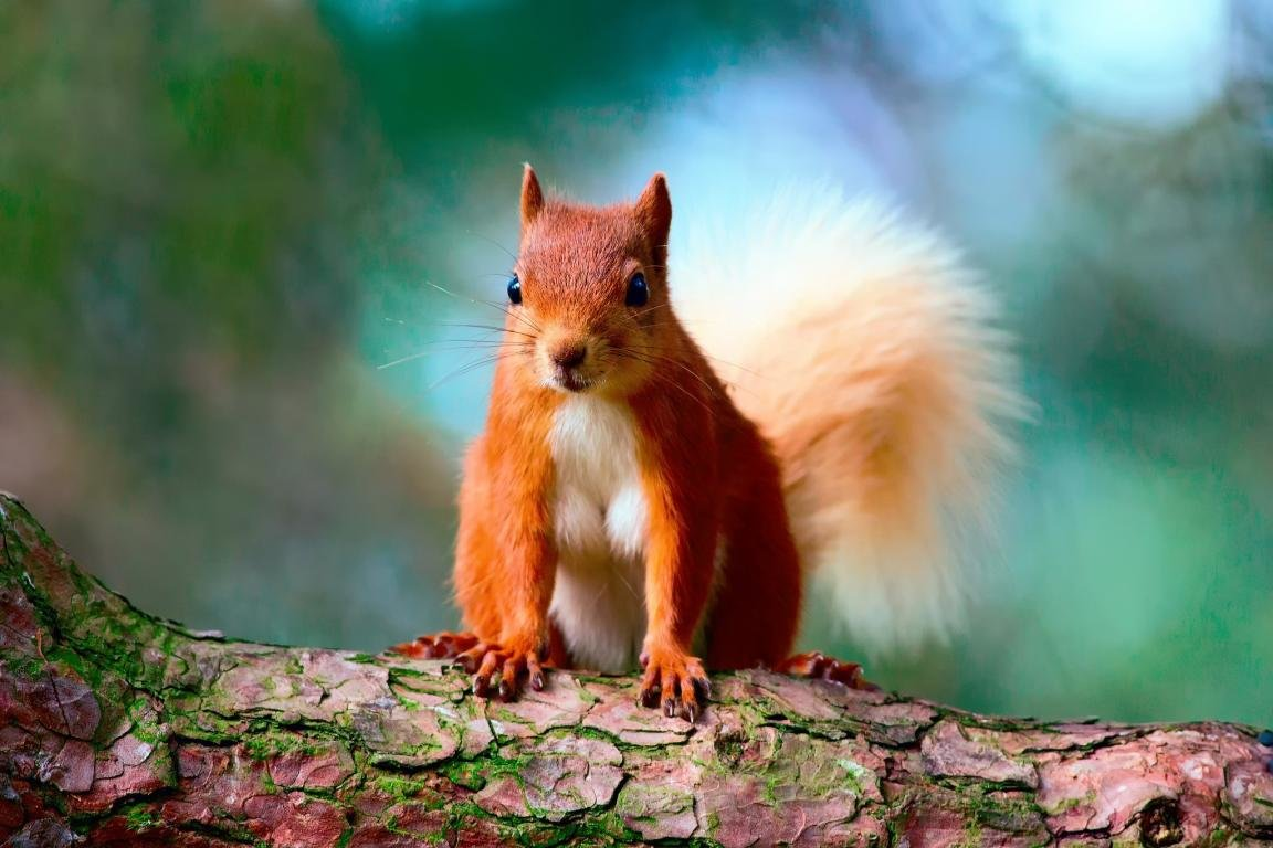 Download hd 1152x768 Squirrel computer wallpaper ID:311867 for free