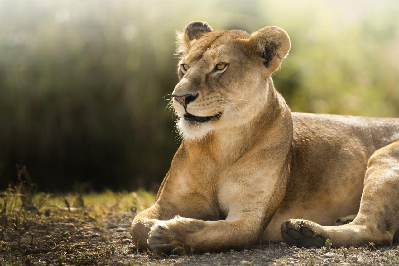 Awesome Lioness free background ID:255275 for hd 1280x854 computer