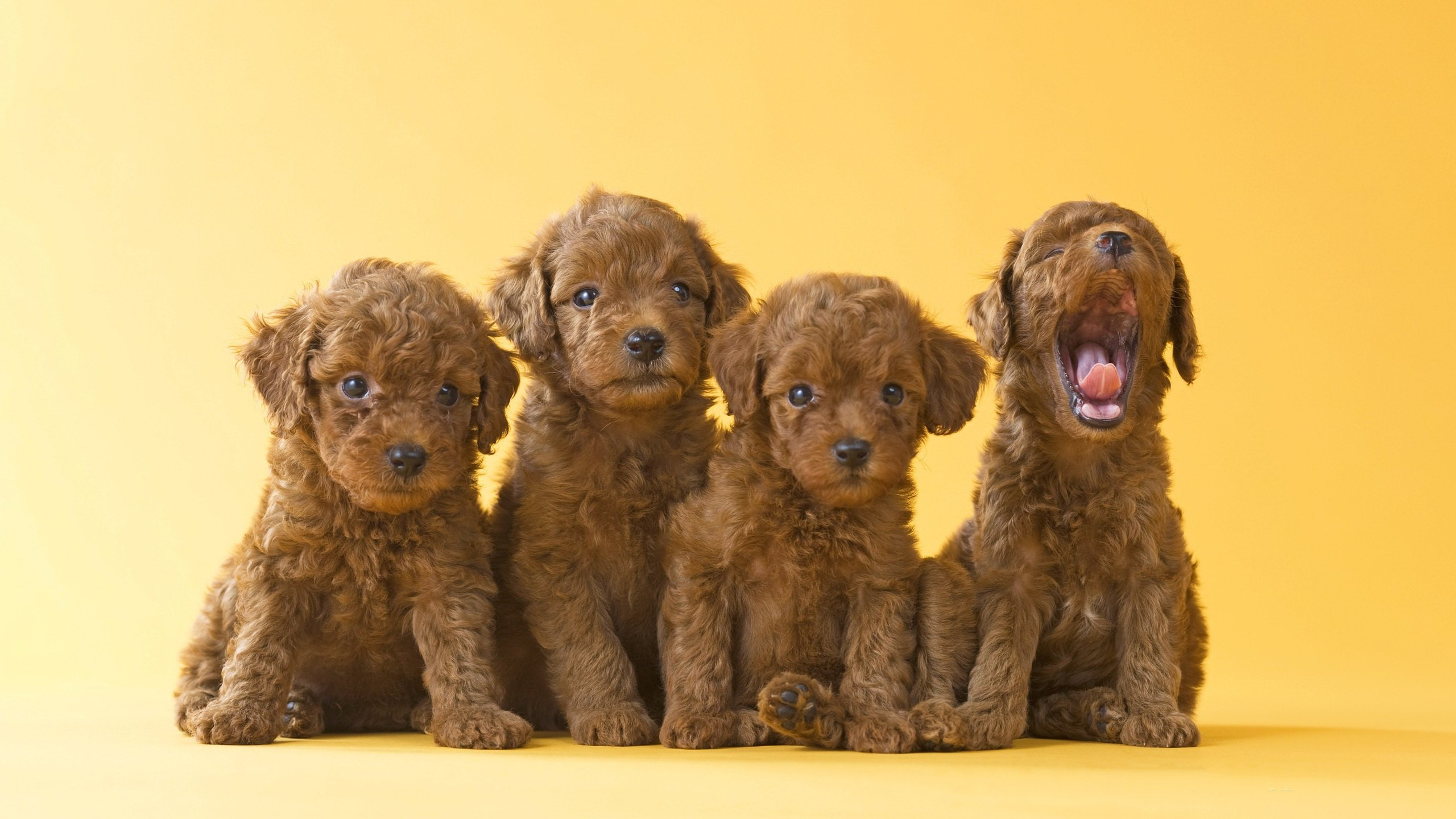 Free download Puppy wallpaper ID:46760 hd 2560x1440 for PC
