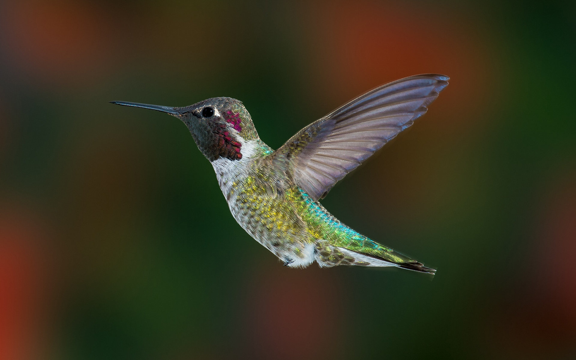 Download hd 1920x1200 Hummingbird PC background ID:215820 for free