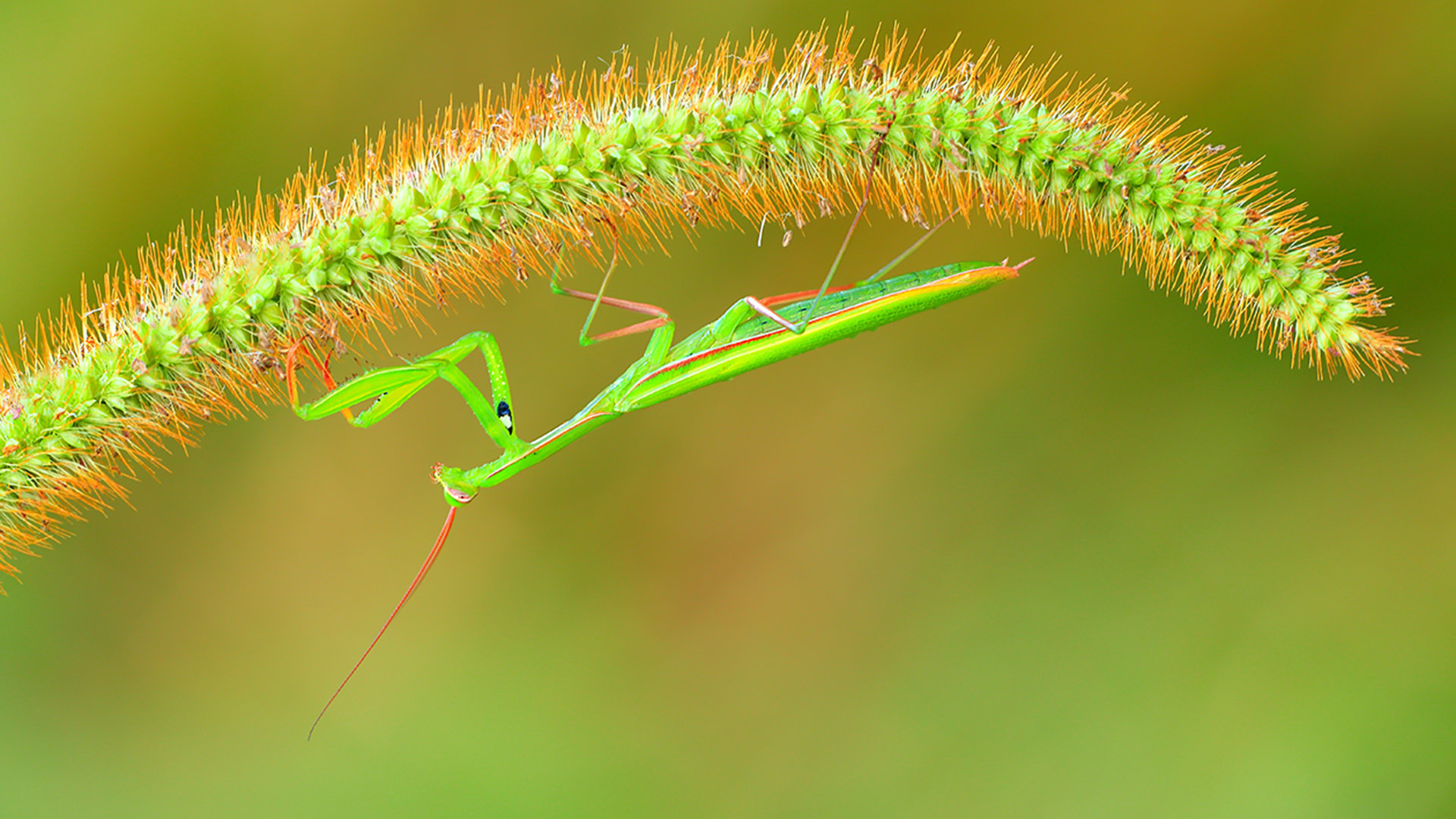 Best Praying Mantis background ID:156483 for High Resolution 1080p computer