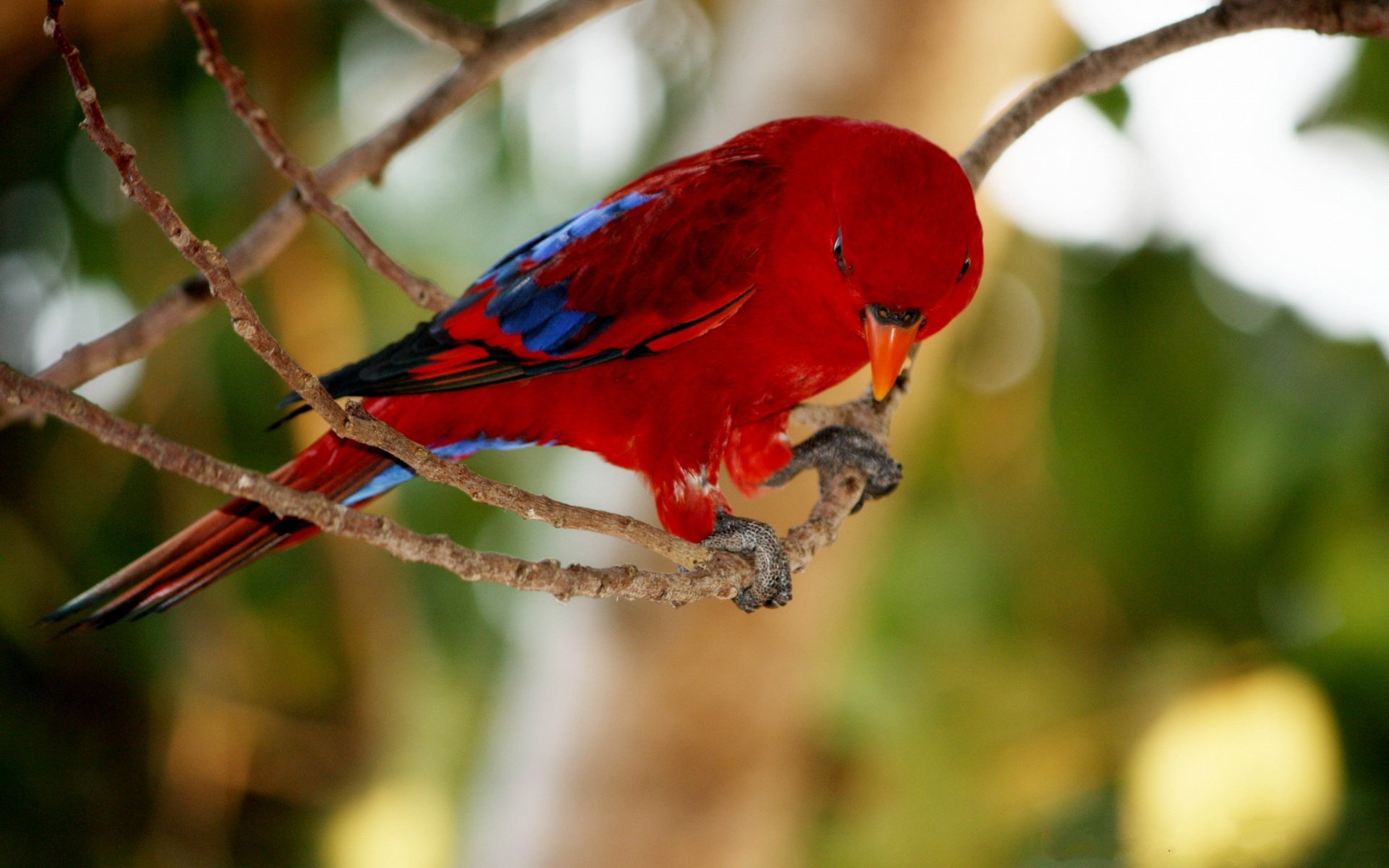 Download hd 1920x1200 Parrot desktop wallpaper ID:25739 for free