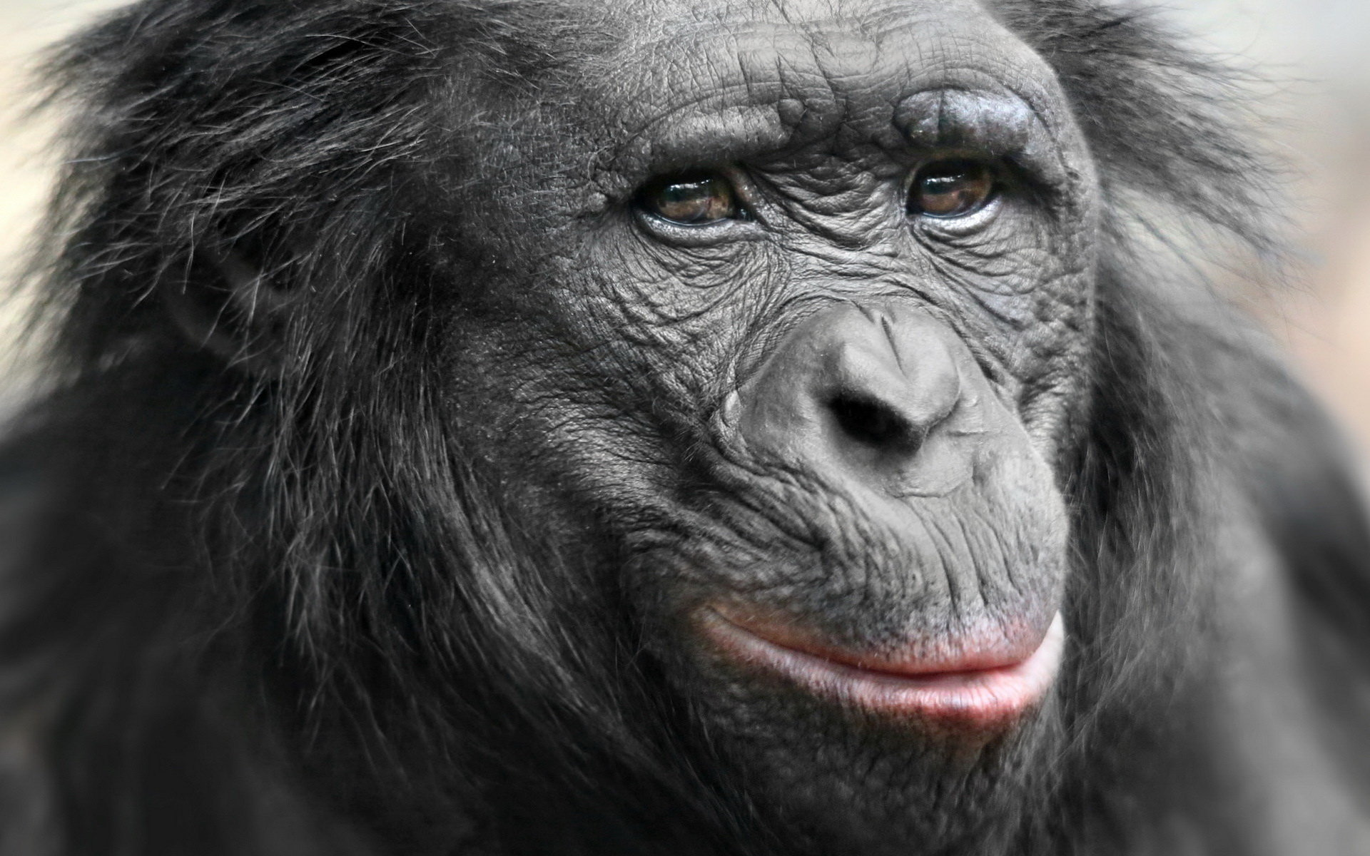Best Chimpanzee wallpaper ID:24639 for High Resolution hd 1920x1200 computer