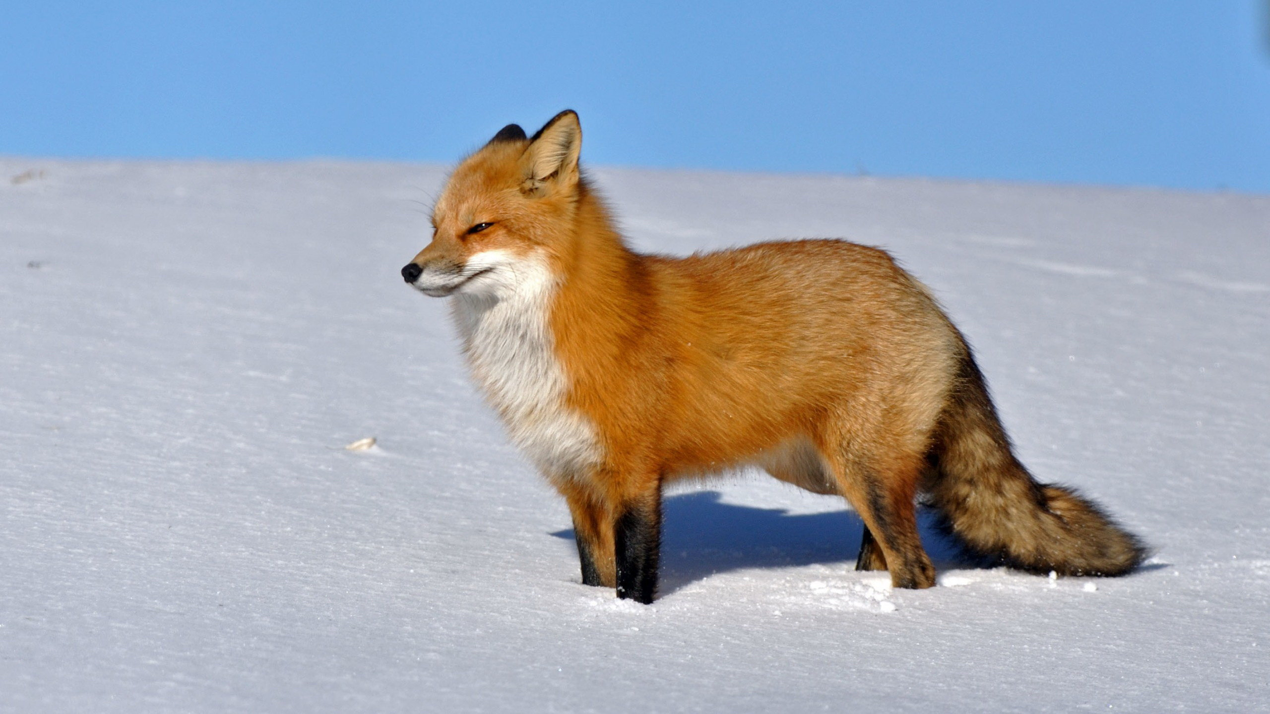 High resolution Fox hd 2560x1440 background ID:58943 for PC