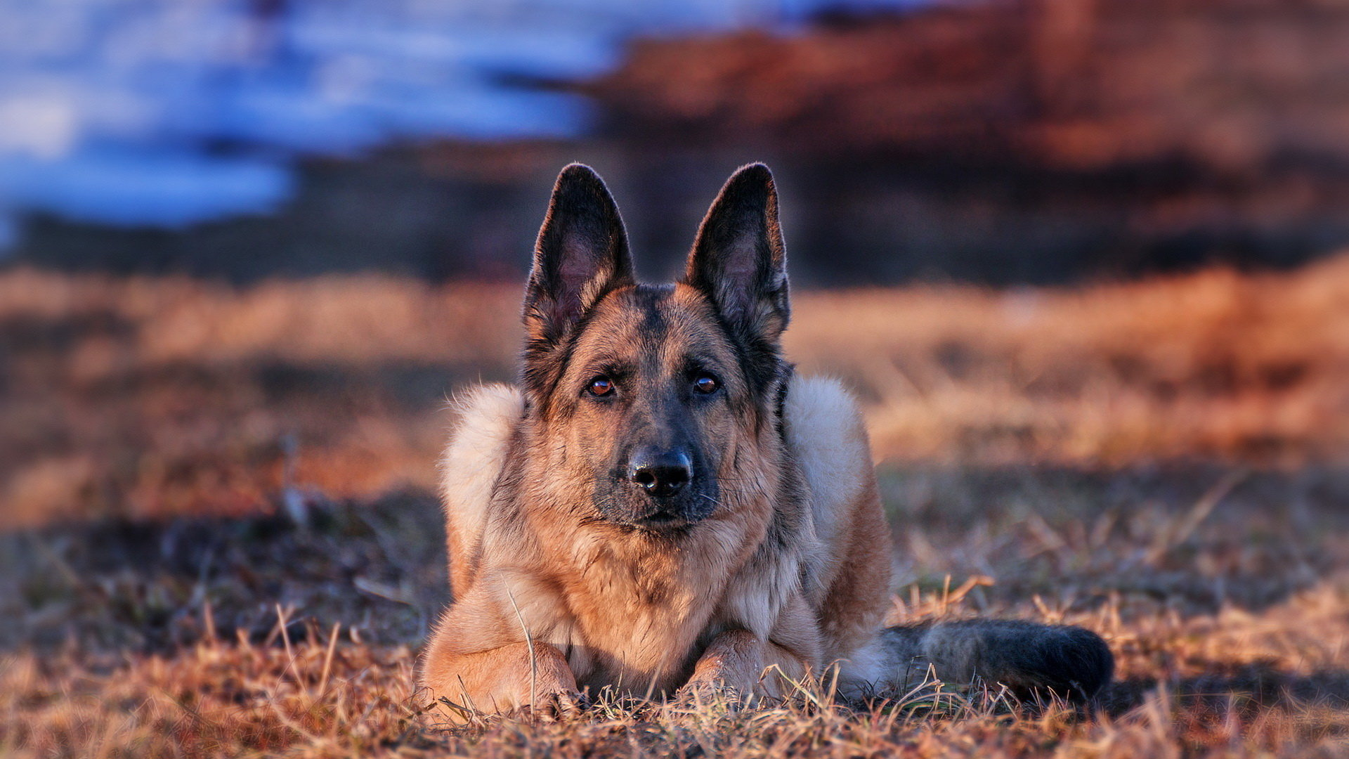 Awesome German Shepherd free wallpaper ID:111167 for hd 1920x1080 computer