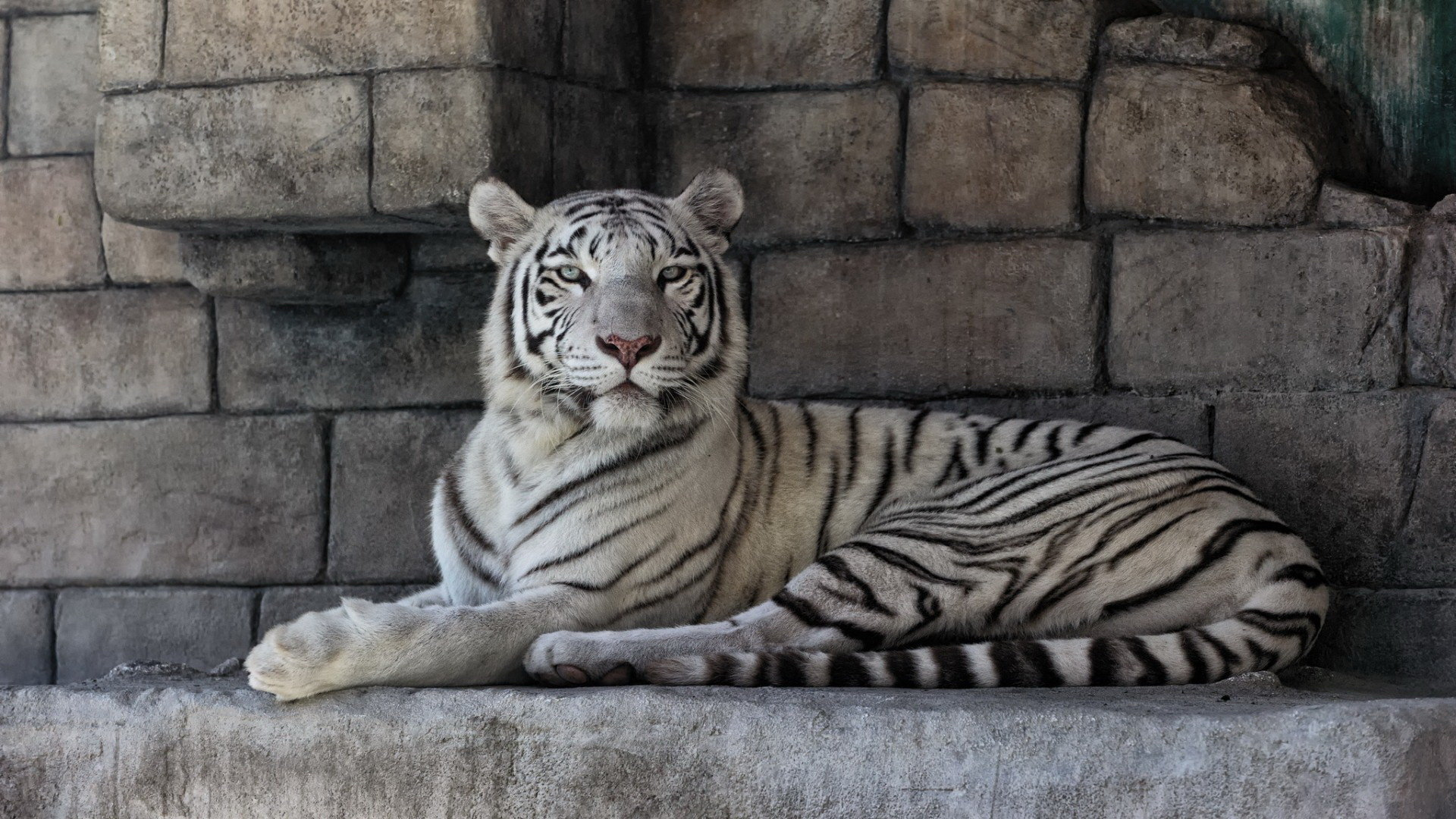 Download full hd White Tiger PC wallpaper ID:174867 for free