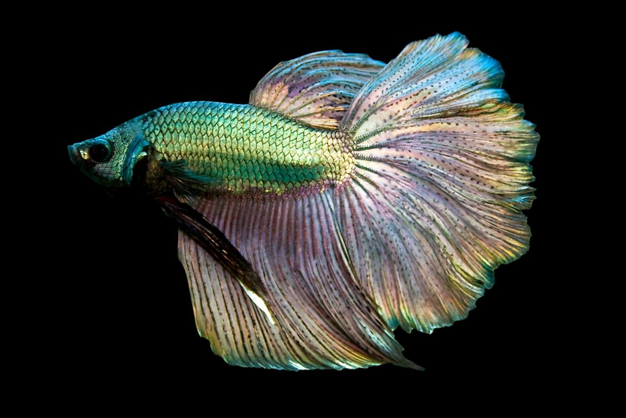 Awesome Betta free background ID:212090 for hd 1280x854 desktop