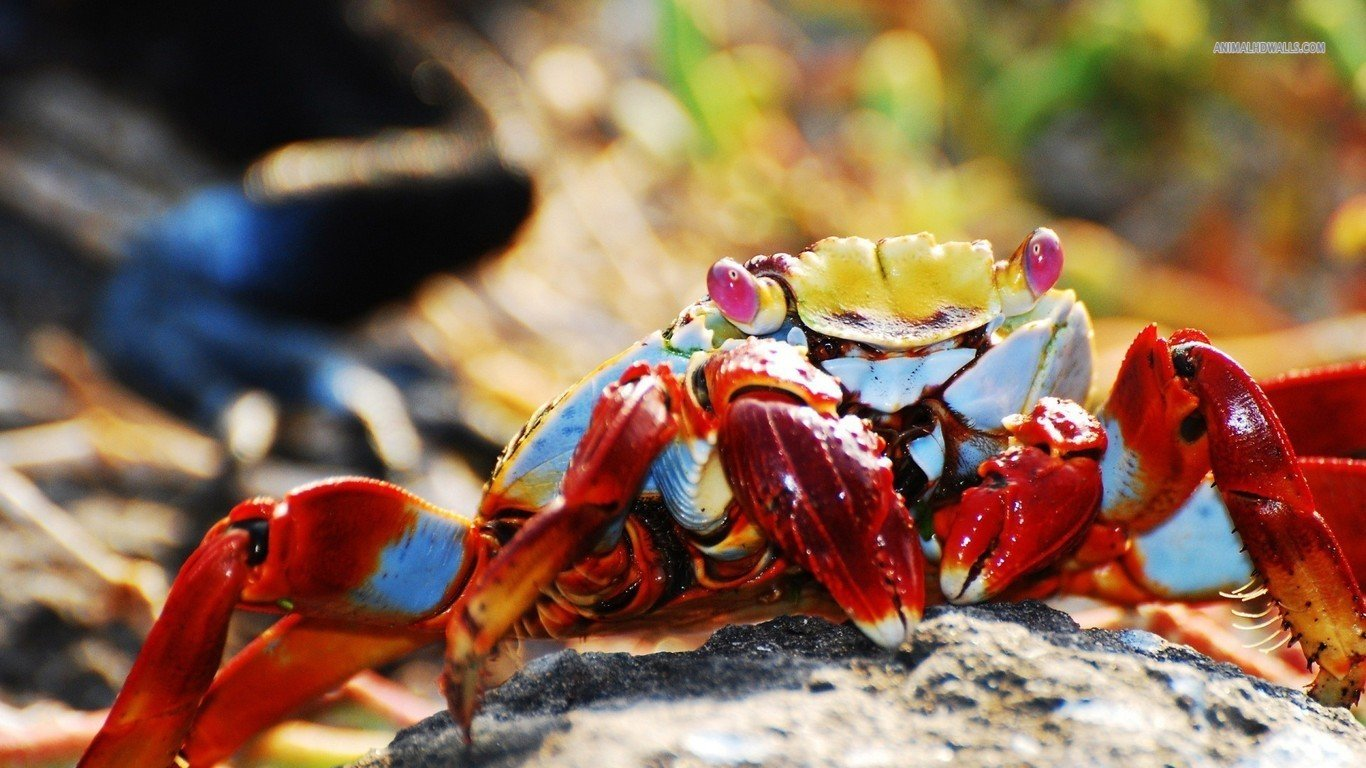 Awesome Crab free background ID:294326 for hd 1366x768 desktop
