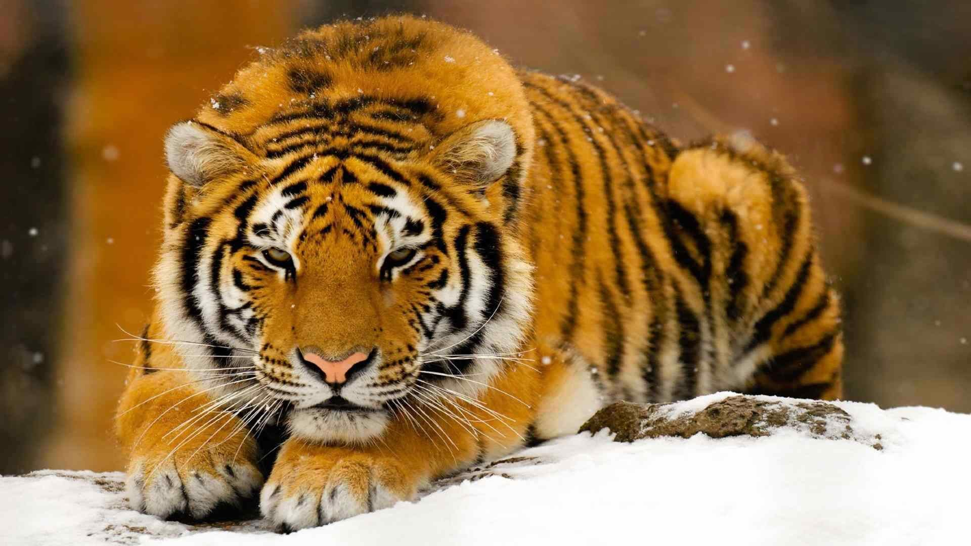 Awesome Tiger free wallpaper ID:116507 for 1080p PC
