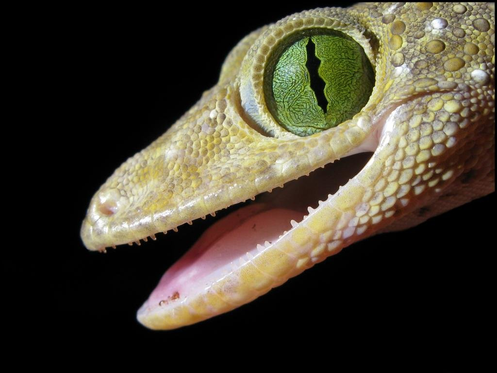 High resolution Gecko hd 1024x768 wallpaper ID:114513 for PC